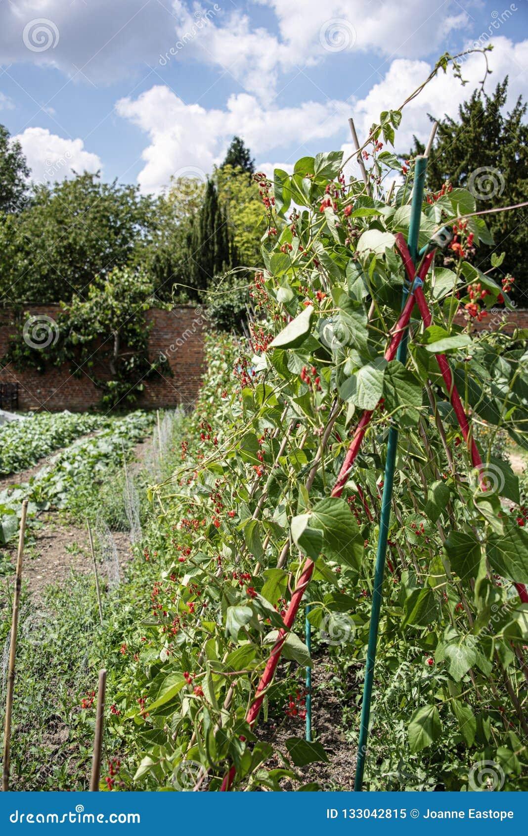 长大藤茎的绿豆在被围住的菜园里