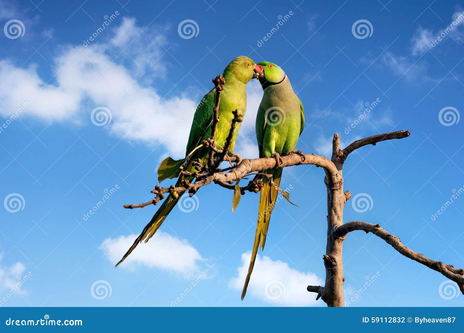 长尾小鹦鹉在印度