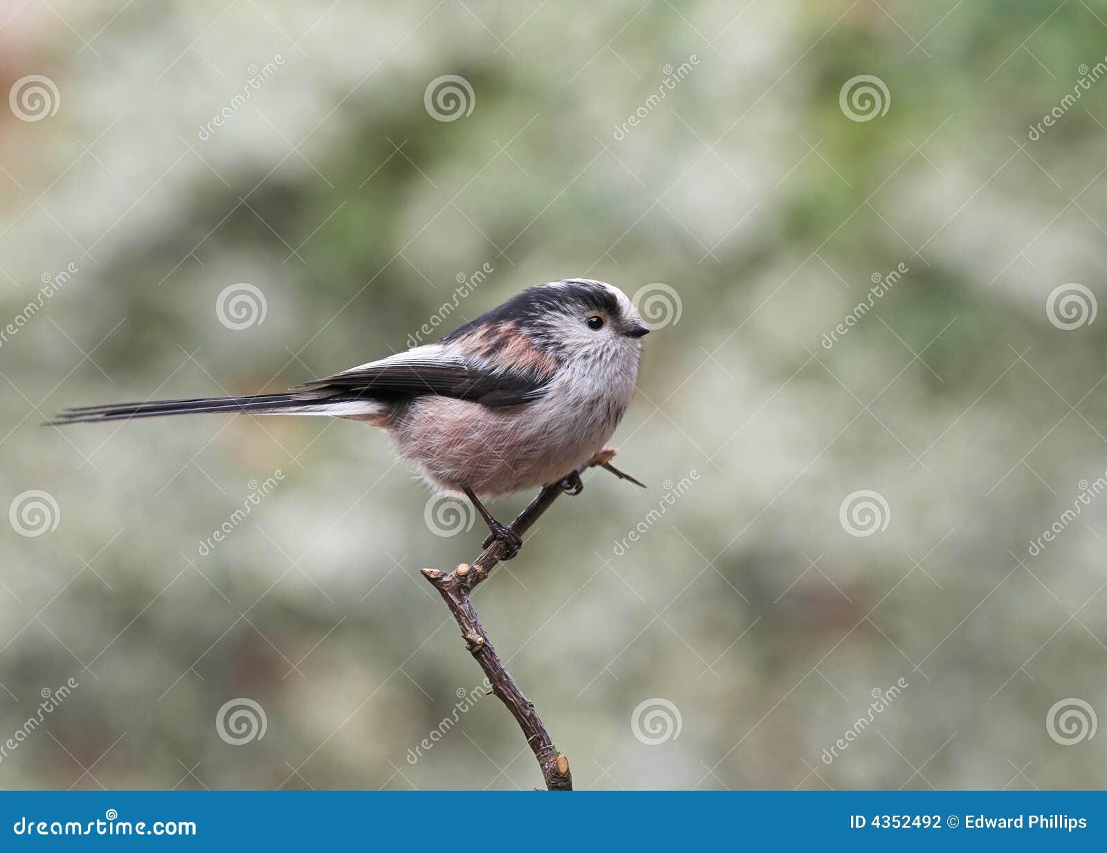 长尾的山雀