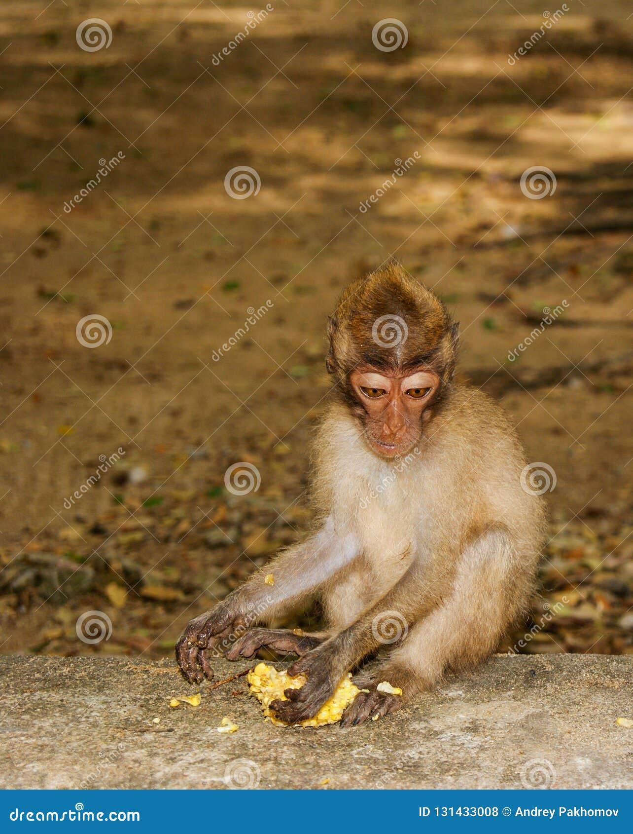 长尾的短尾猿猴子吃香蕉 岩石坐