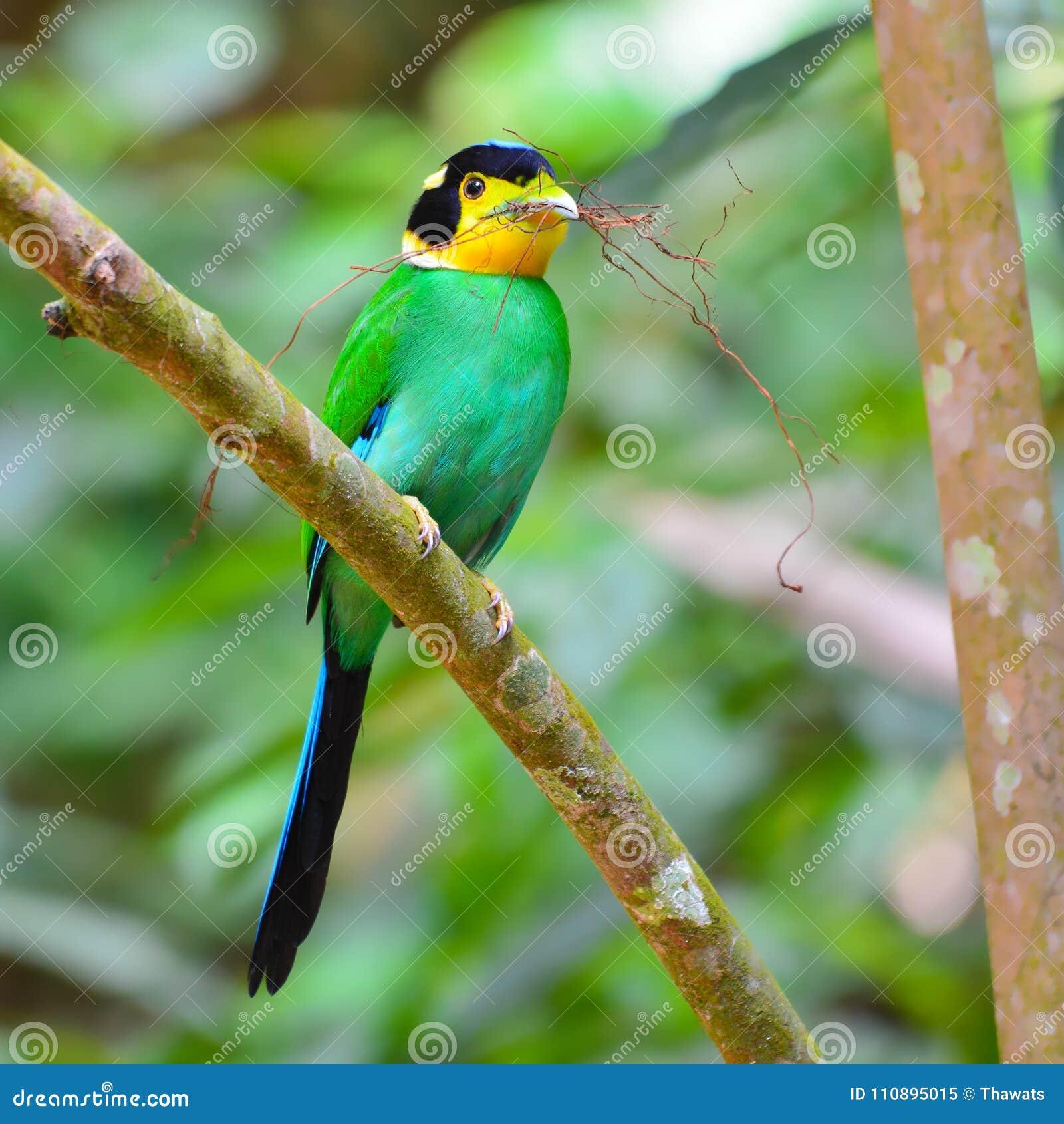 长尾的Broadbill鸟