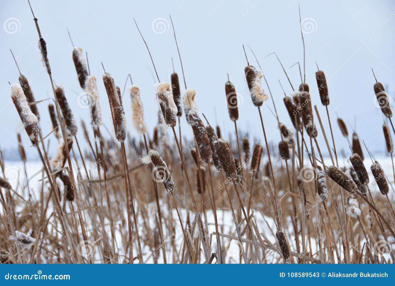 长得太大的芦苇在湖的冬天