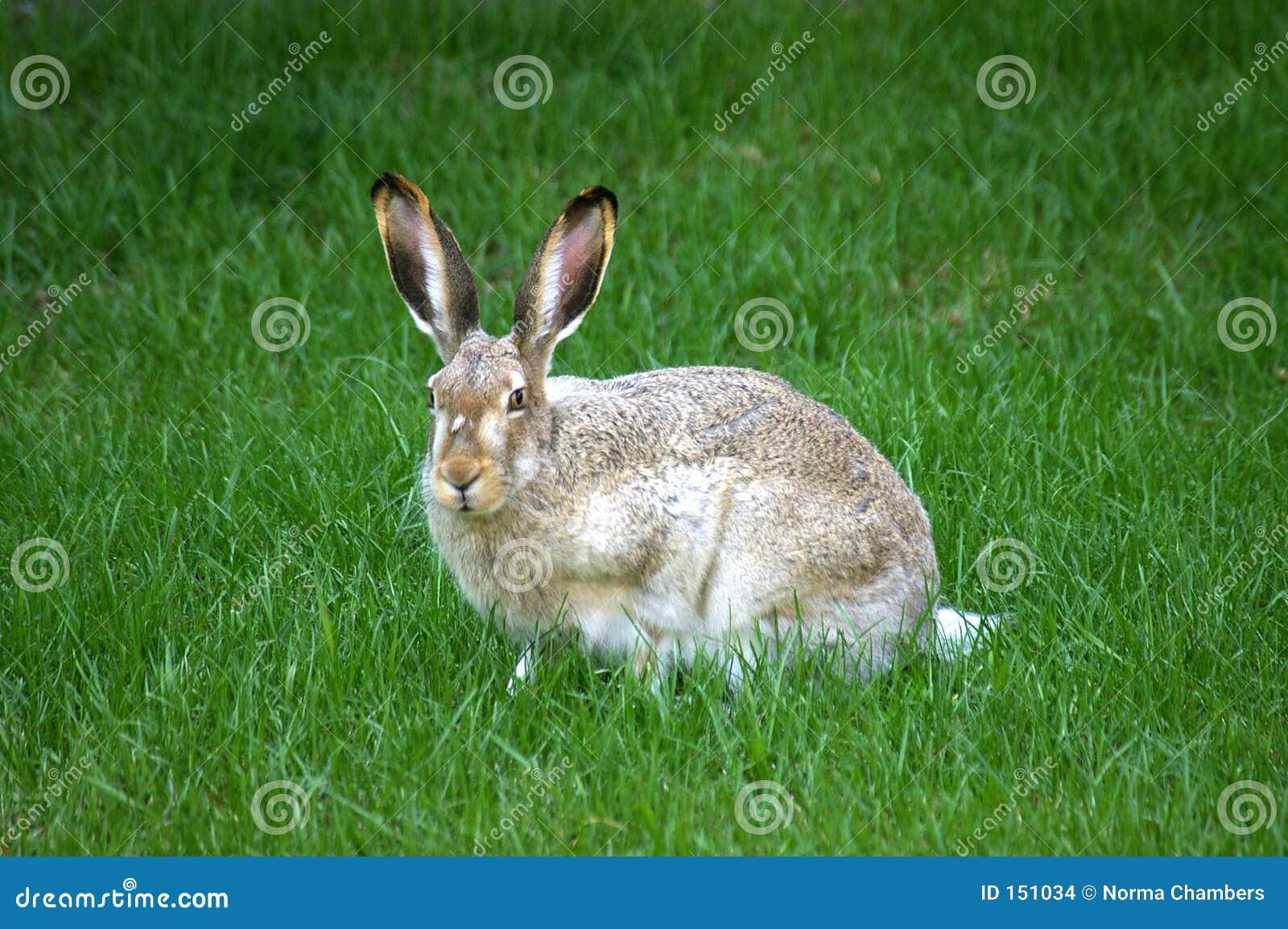 长耳大野兔开会