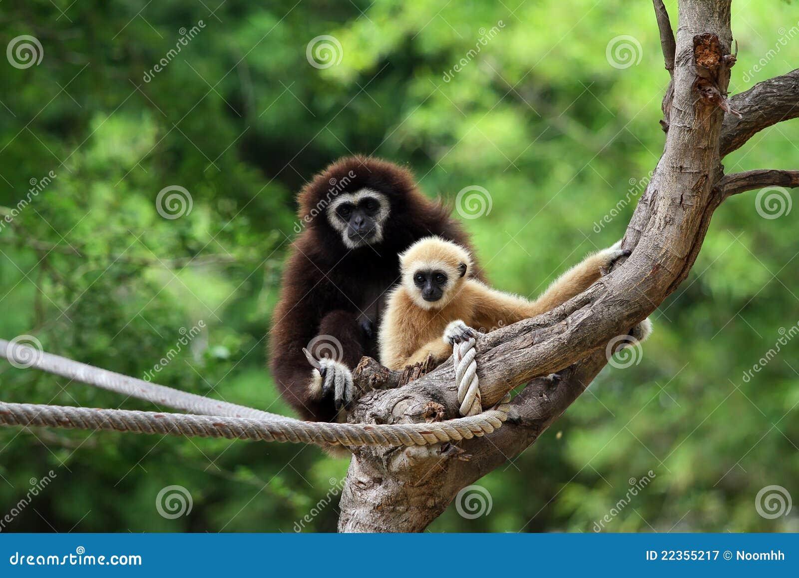 长臂猿递了二白色