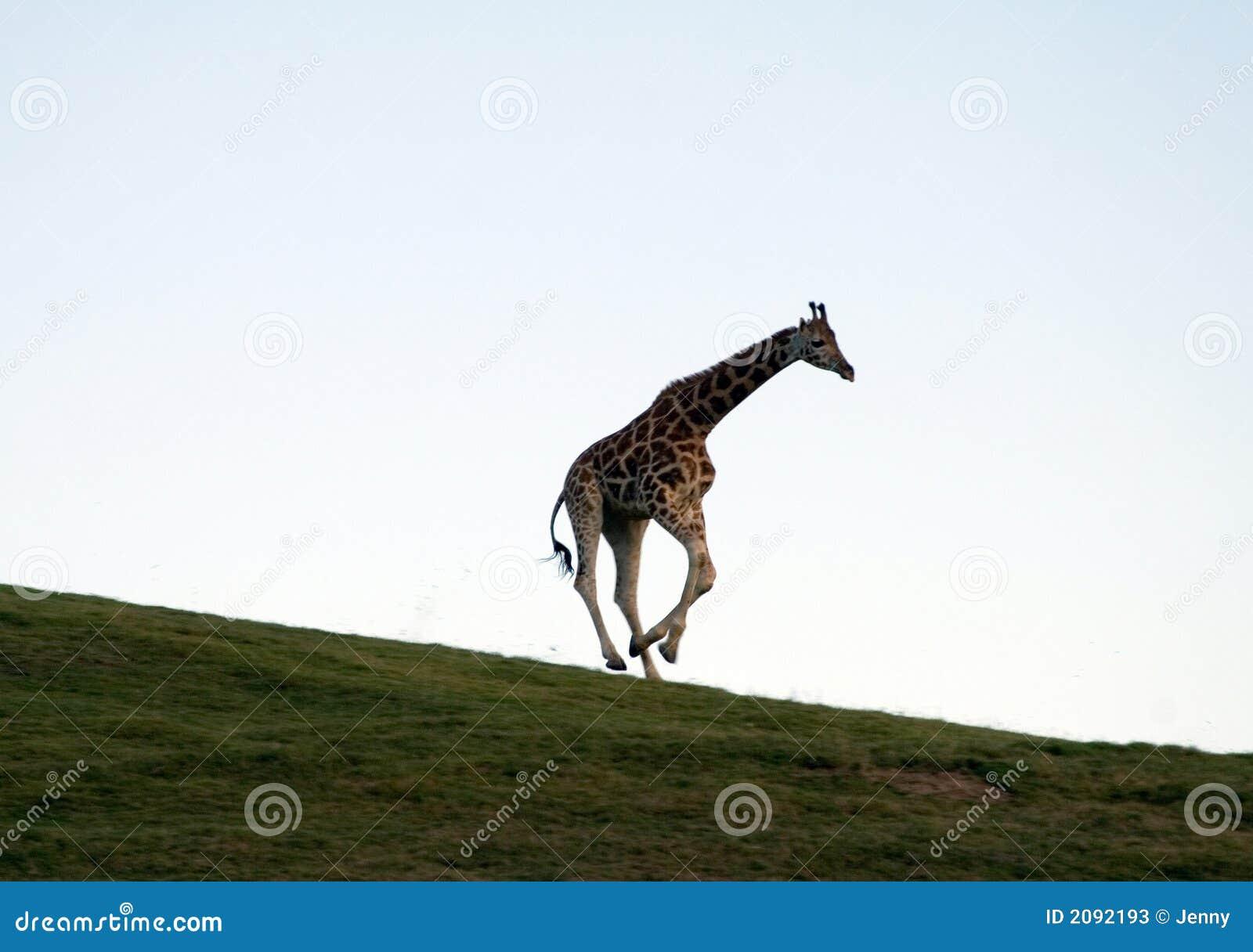 长颈鹿运行中