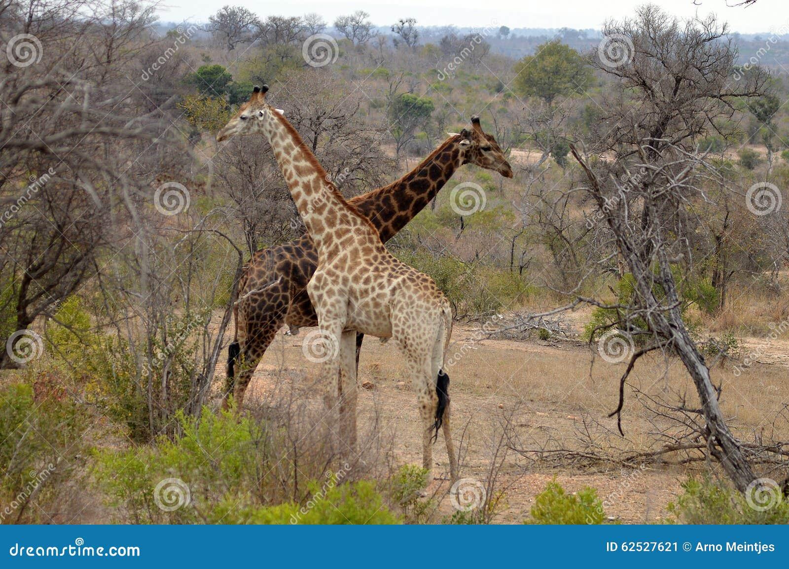 长颈鹿(长颈鹿camelopardalis)