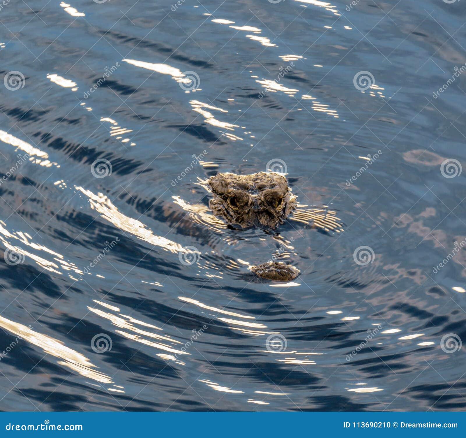 闪耀的水围拢的鳄鱼头在佛罗里达沼泽地