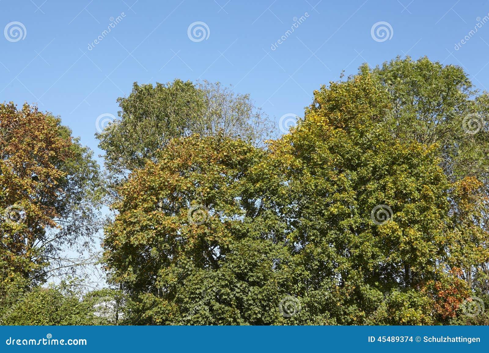 阔叶烟草的森林-树加冠在森林边缘