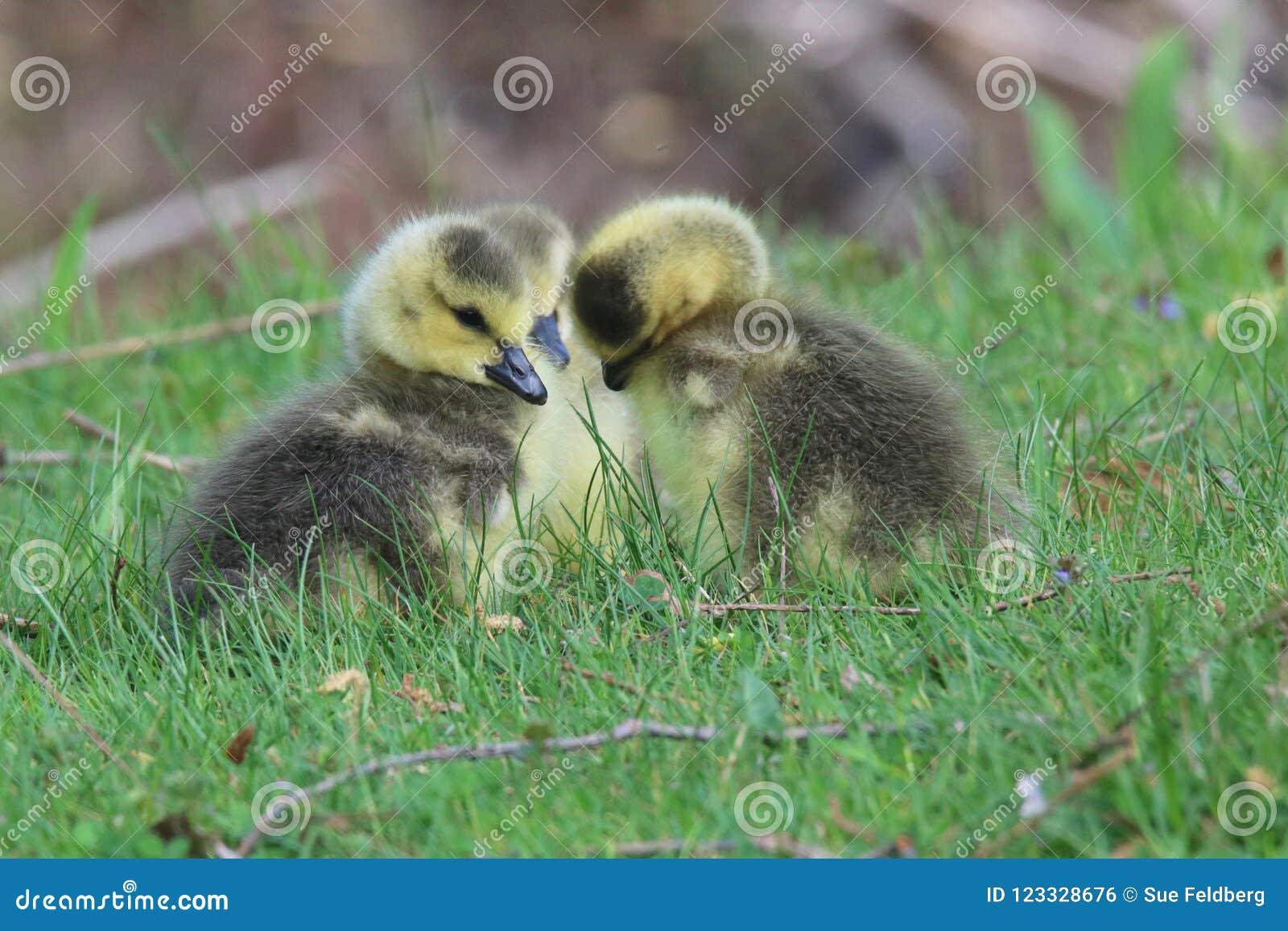 队杂乱的一团-三只幼鹅