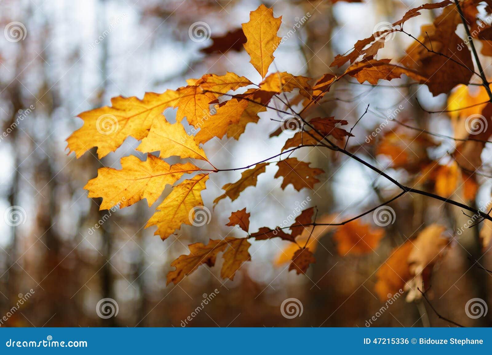 阳光通过橡树叶子