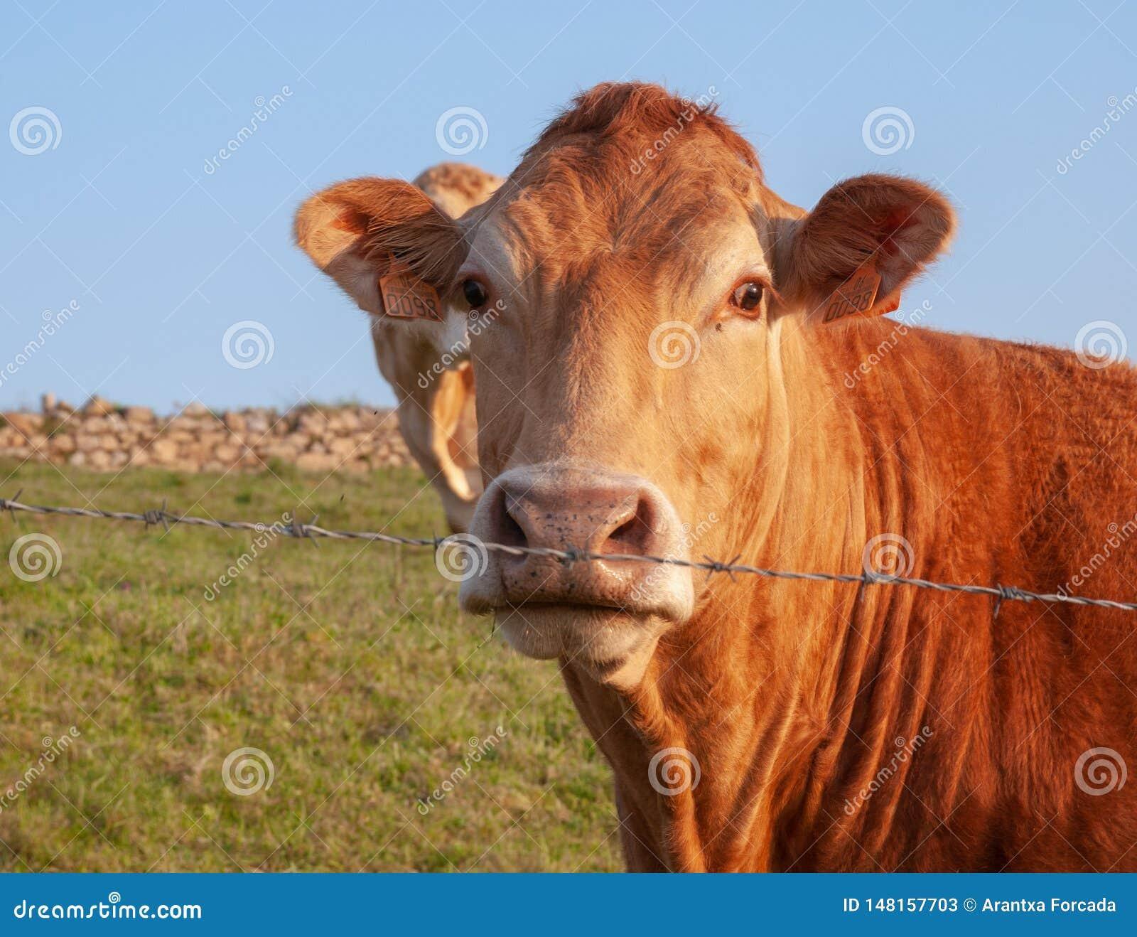 阿基旃f带红色颜色的种族金发碧眼的女人的母牛特写镜头,