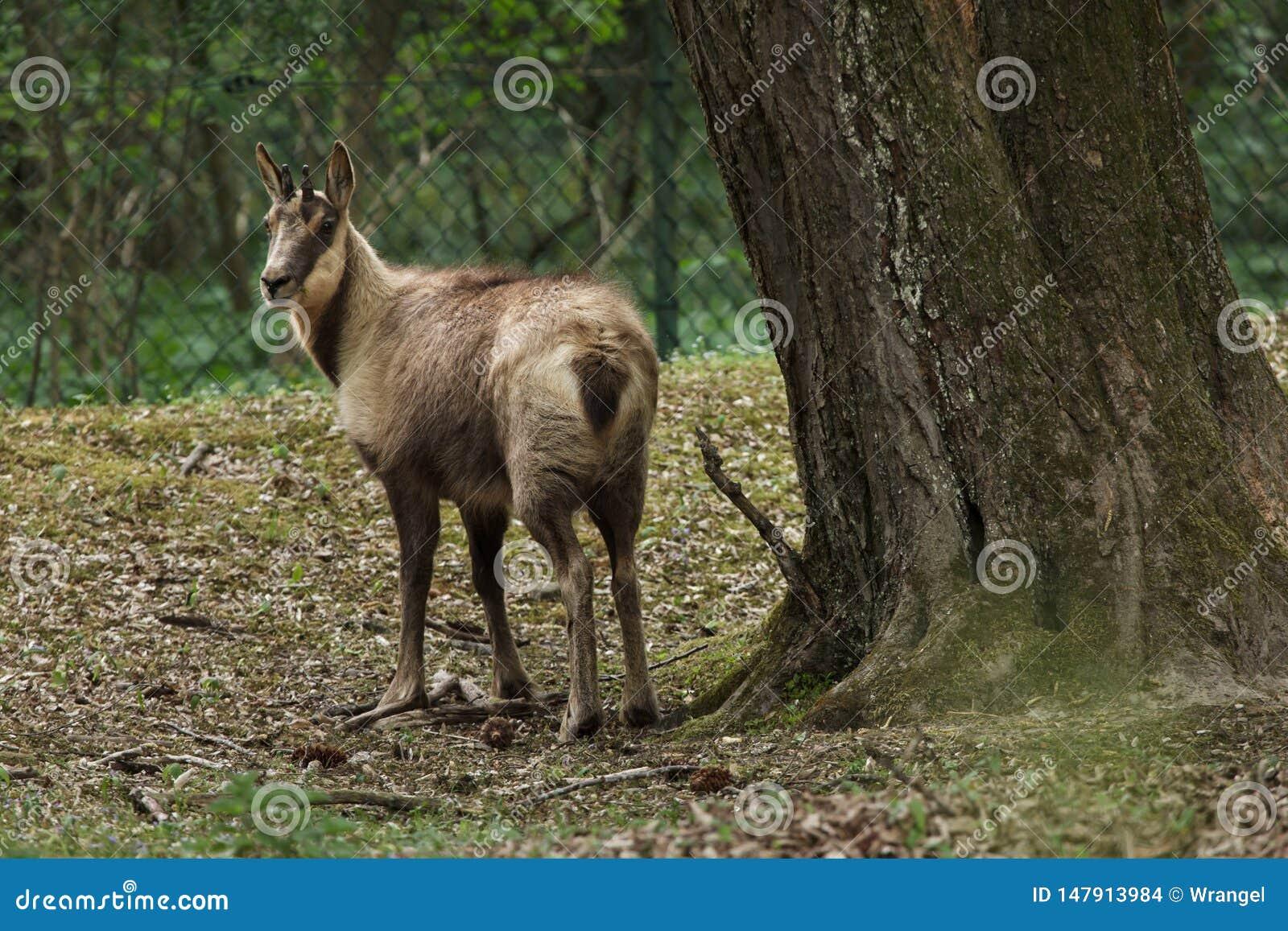 阿布鲁佐羚羊华丽Rupicapra的pyrenaica