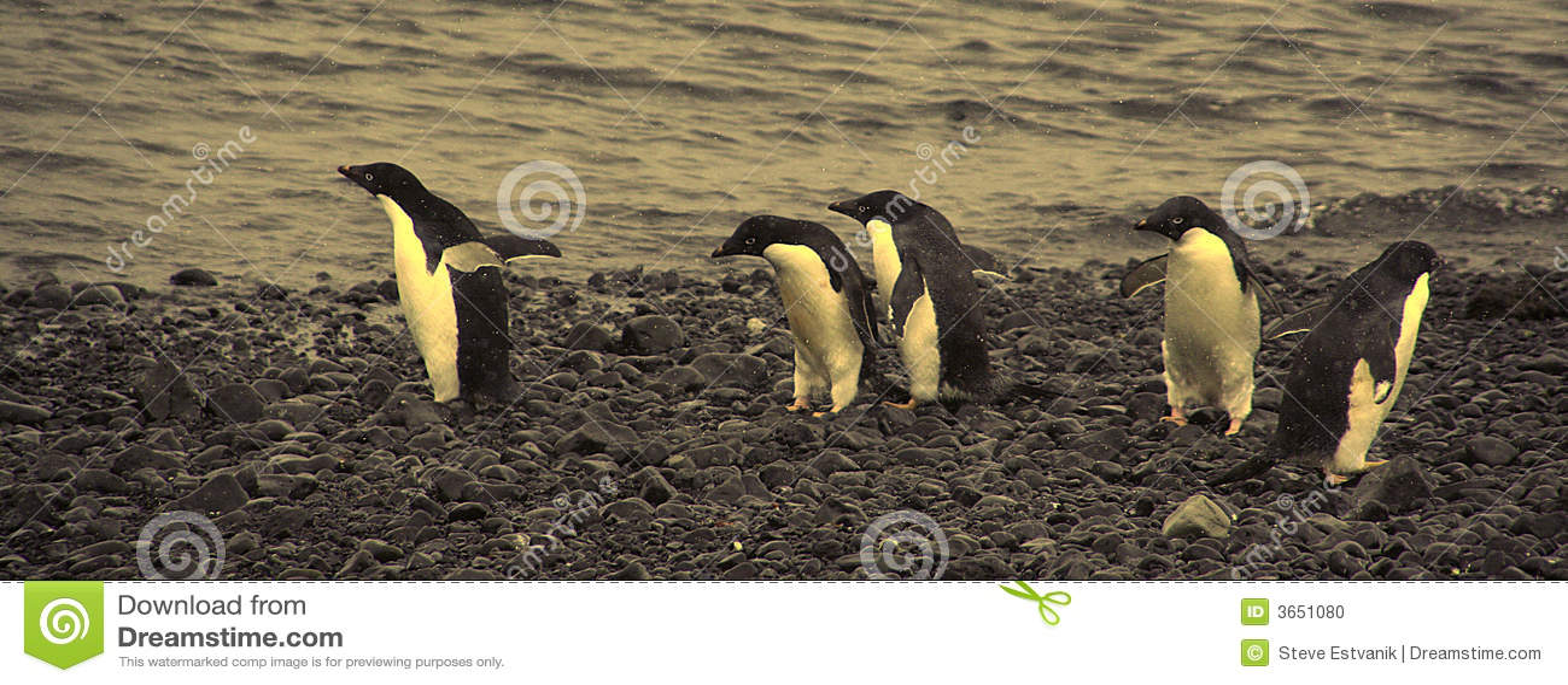 阿德力企鹅混淆肯定去不是企鹅其中