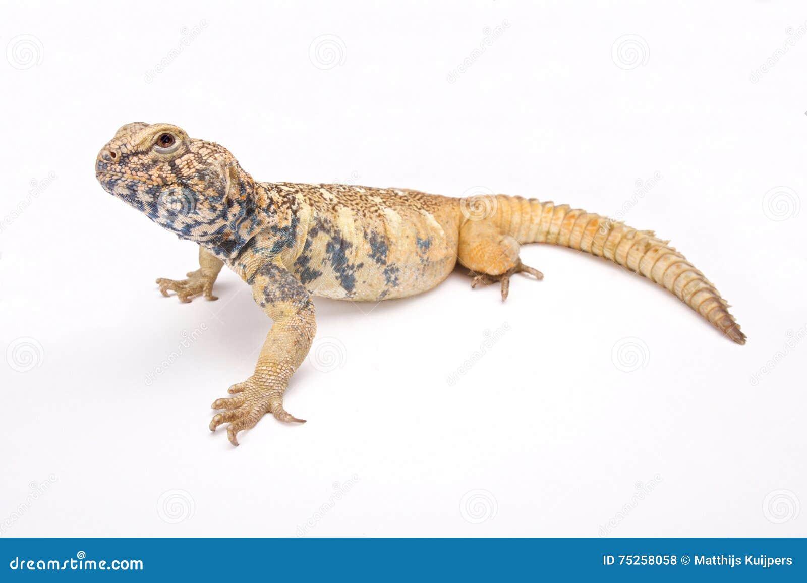 阿拉伯人南部多刺被盯梢的蜥蜴(Uromastyx yemenensis)