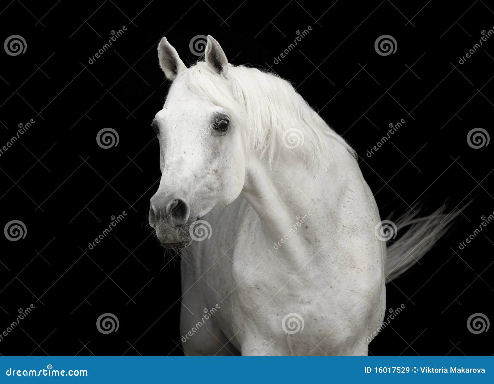 阿拉伯黑色马纵向公马白色