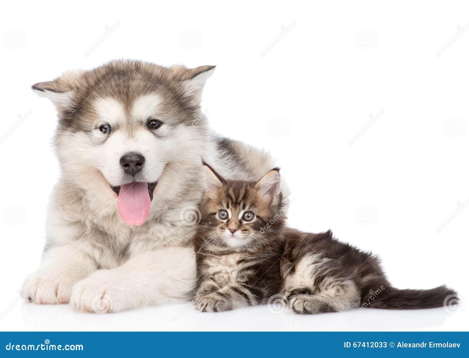 阿拉斯加的爱斯基摩狗一起狗和缅因树狸猫 查出在白色