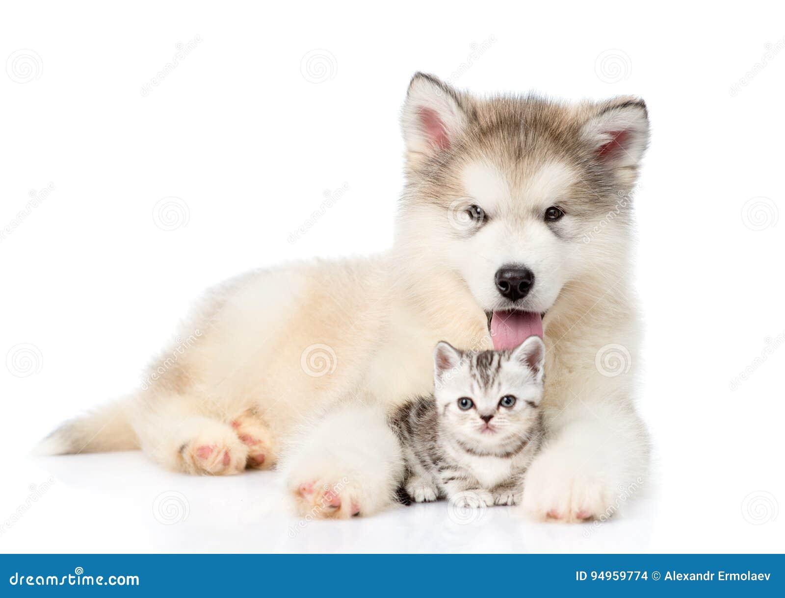 阿拉斯加的爱斯基摩狗小狗拥抱微小的小猫 查出在白色