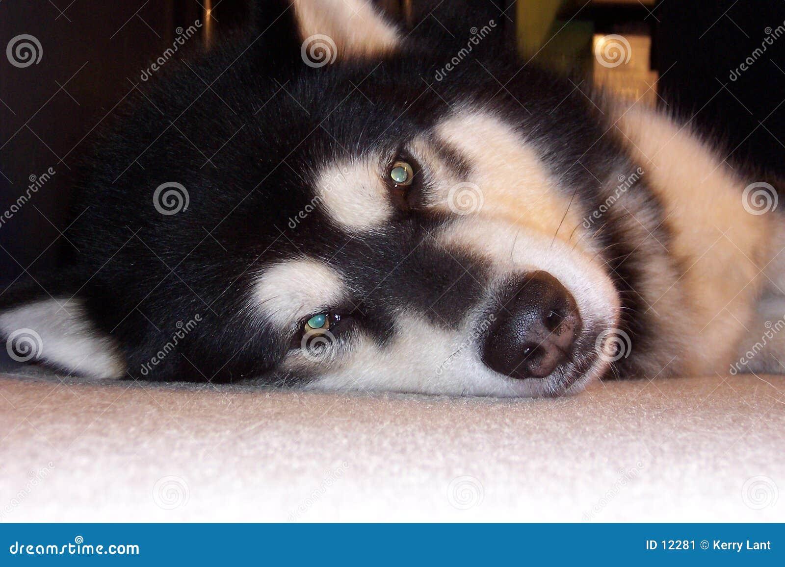 阿拉斯加的爱斯基摩狗