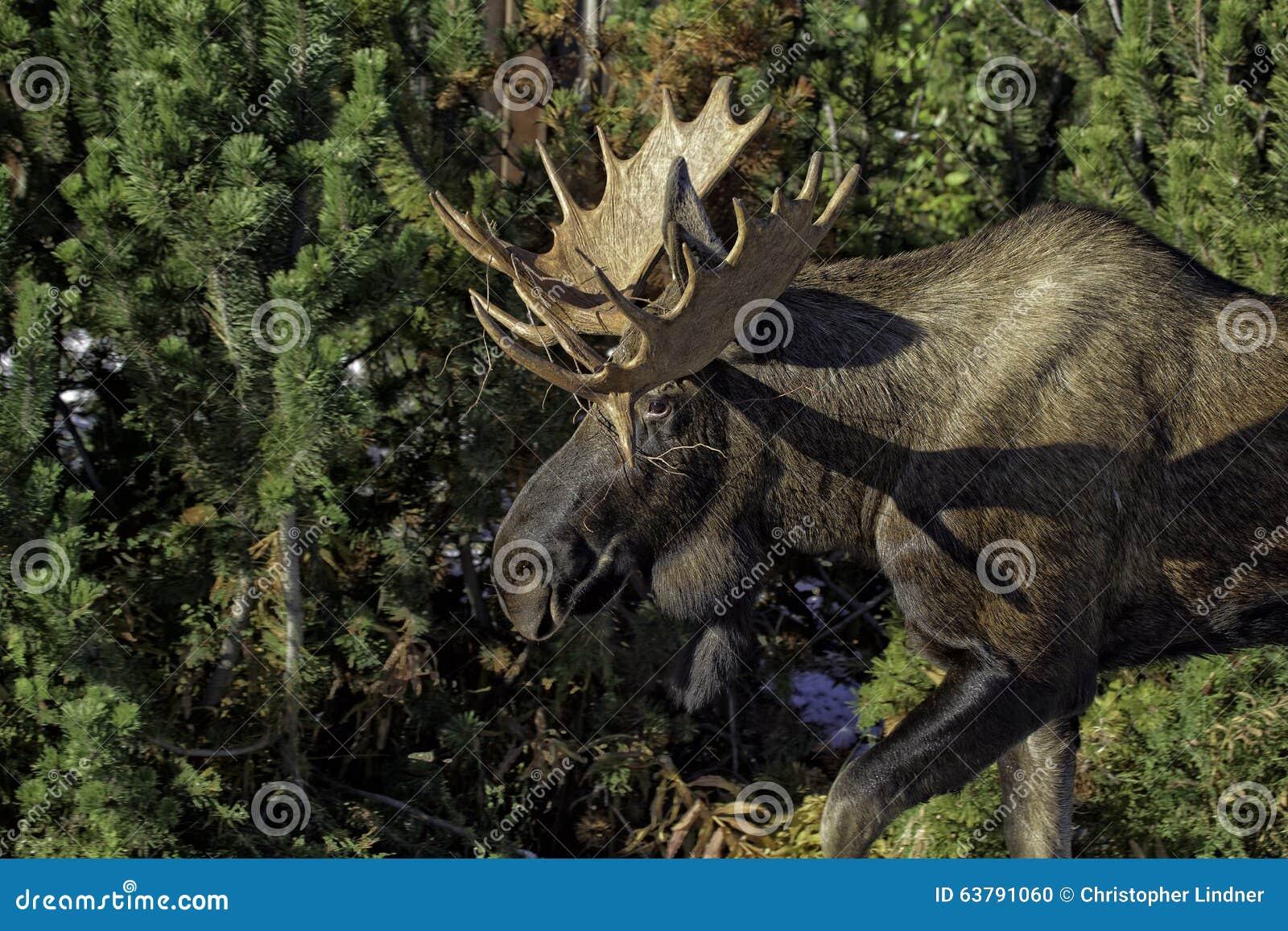阿拉斯加的秋天麋