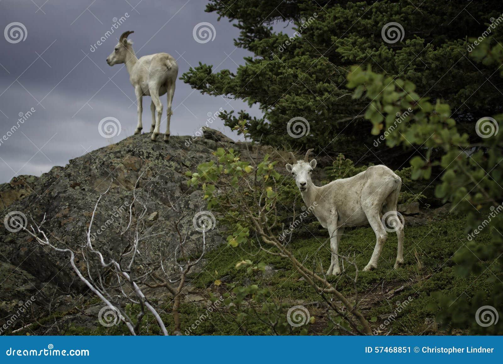 阿拉斯加的Dall母羊