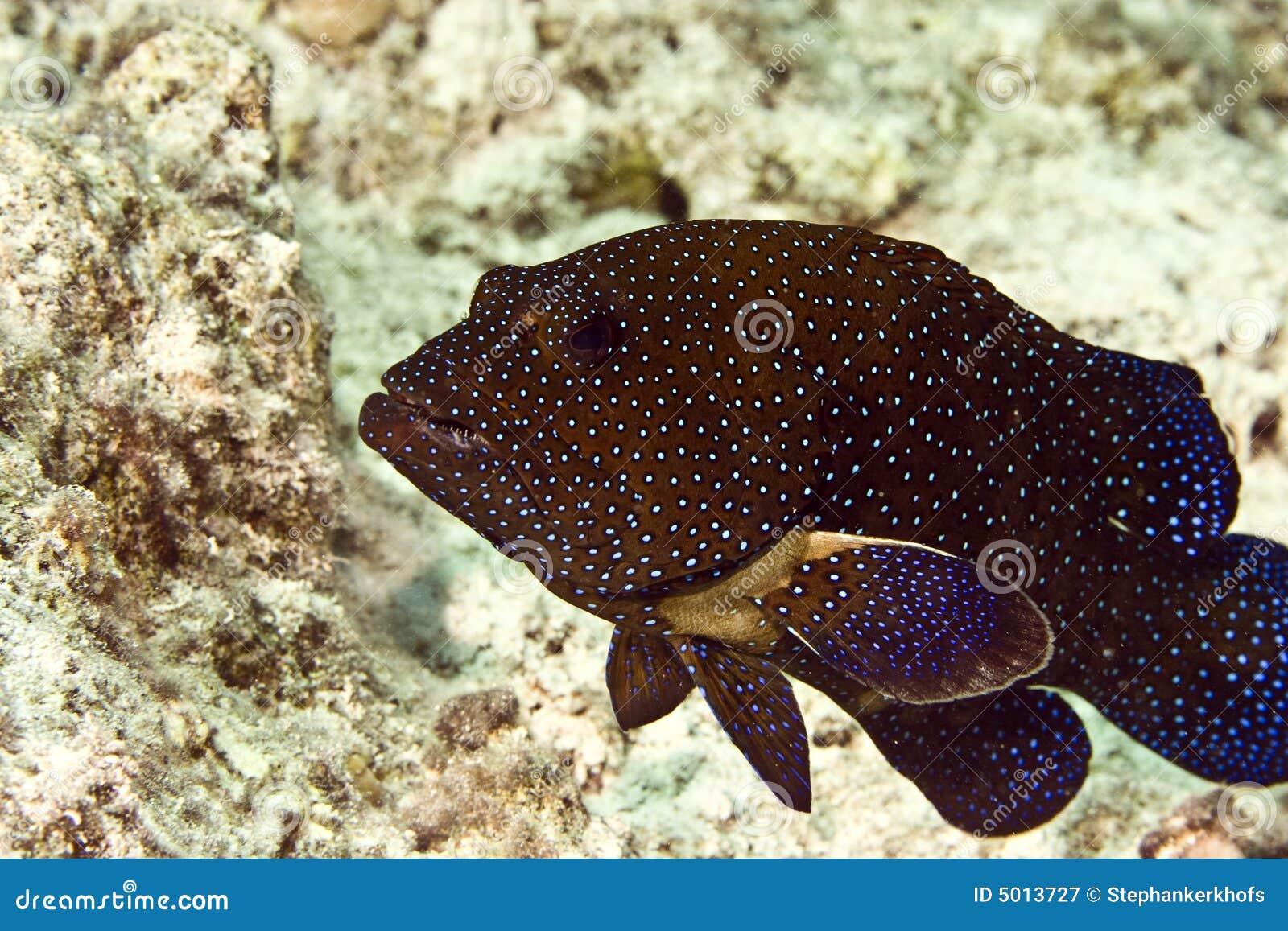 阿格斯cephalopholis石斑鱼孔雀