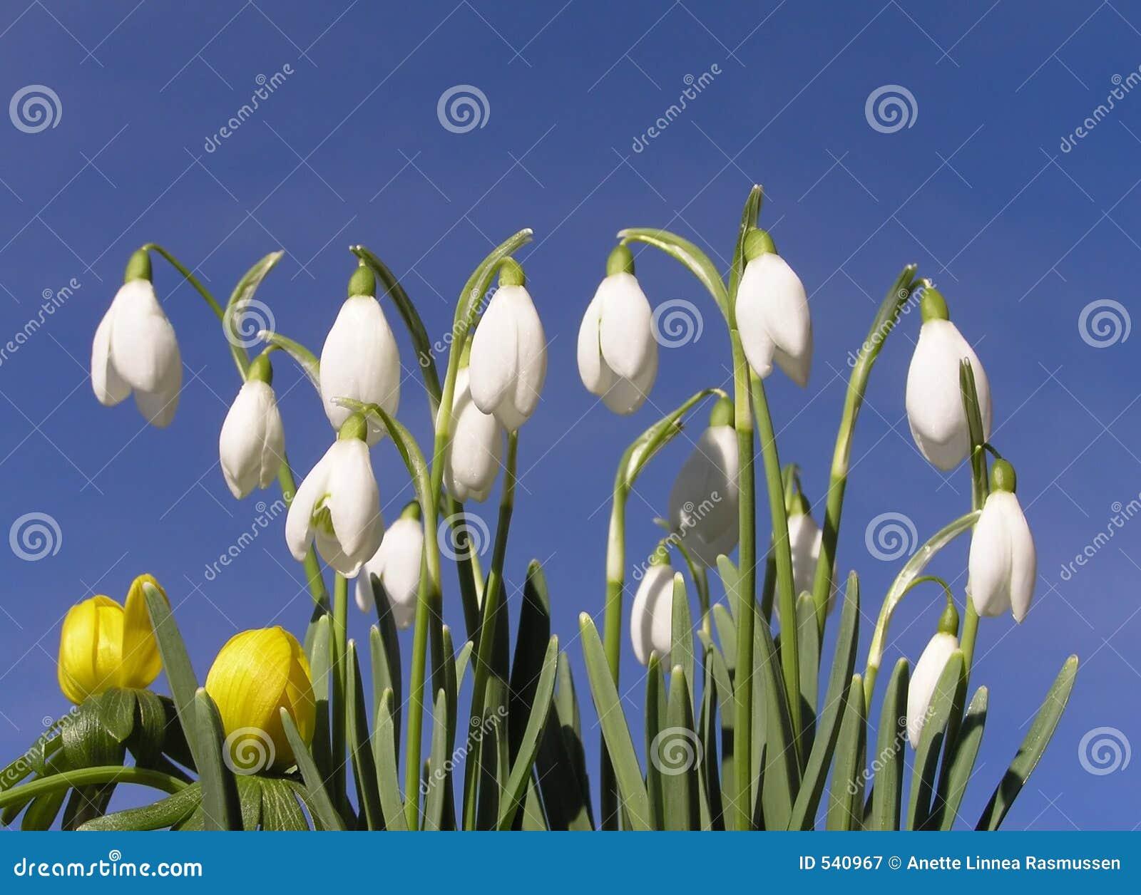 Download 附子snowdrop冬天 库存图片. 图片 包括有 庭院, 植物群, 新鲜, 天空, 本质, budd, 绽放 - 540967