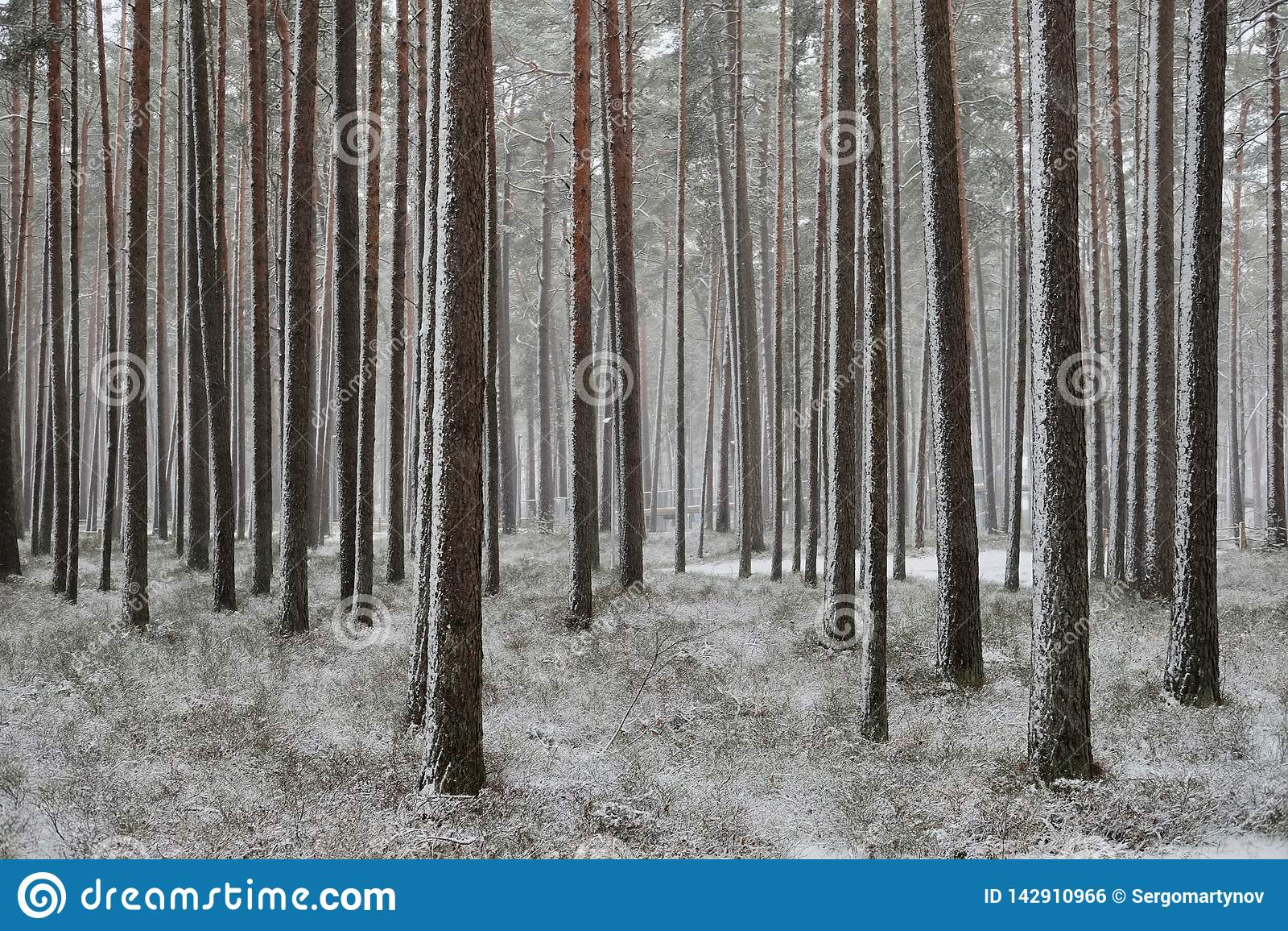 降雪在杉木森林里