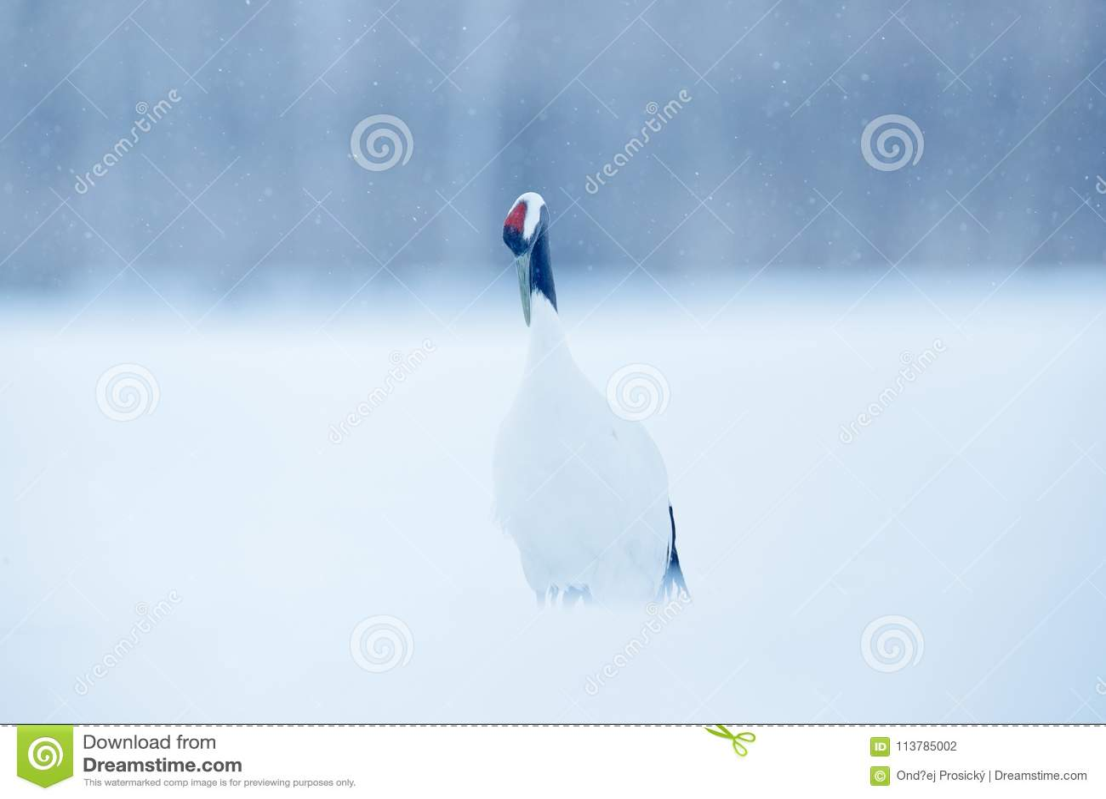 降雪在雪草甸红加冠了起重机,有雪风暴的,北海道,日本 在飞行,与雪花的冬天场面的鸟 雪舞蹈