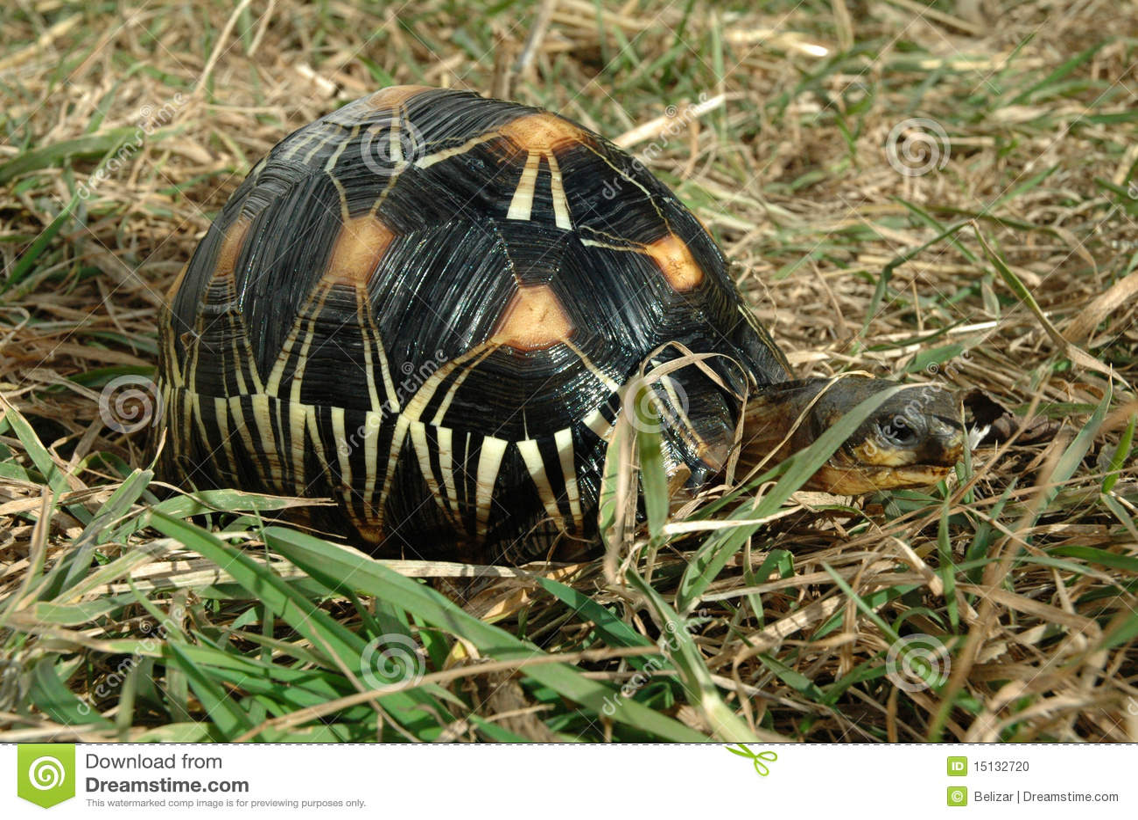 陡壁峡口蛇头草属radiata放热的草龟