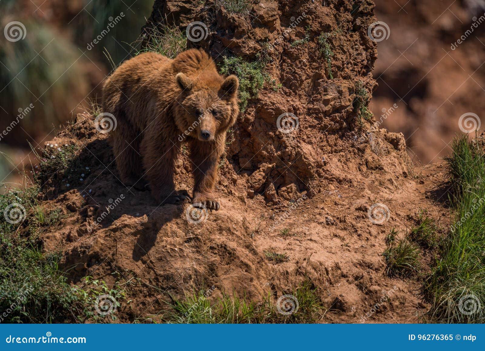 从陡峭的岩石露出的棕熊手表