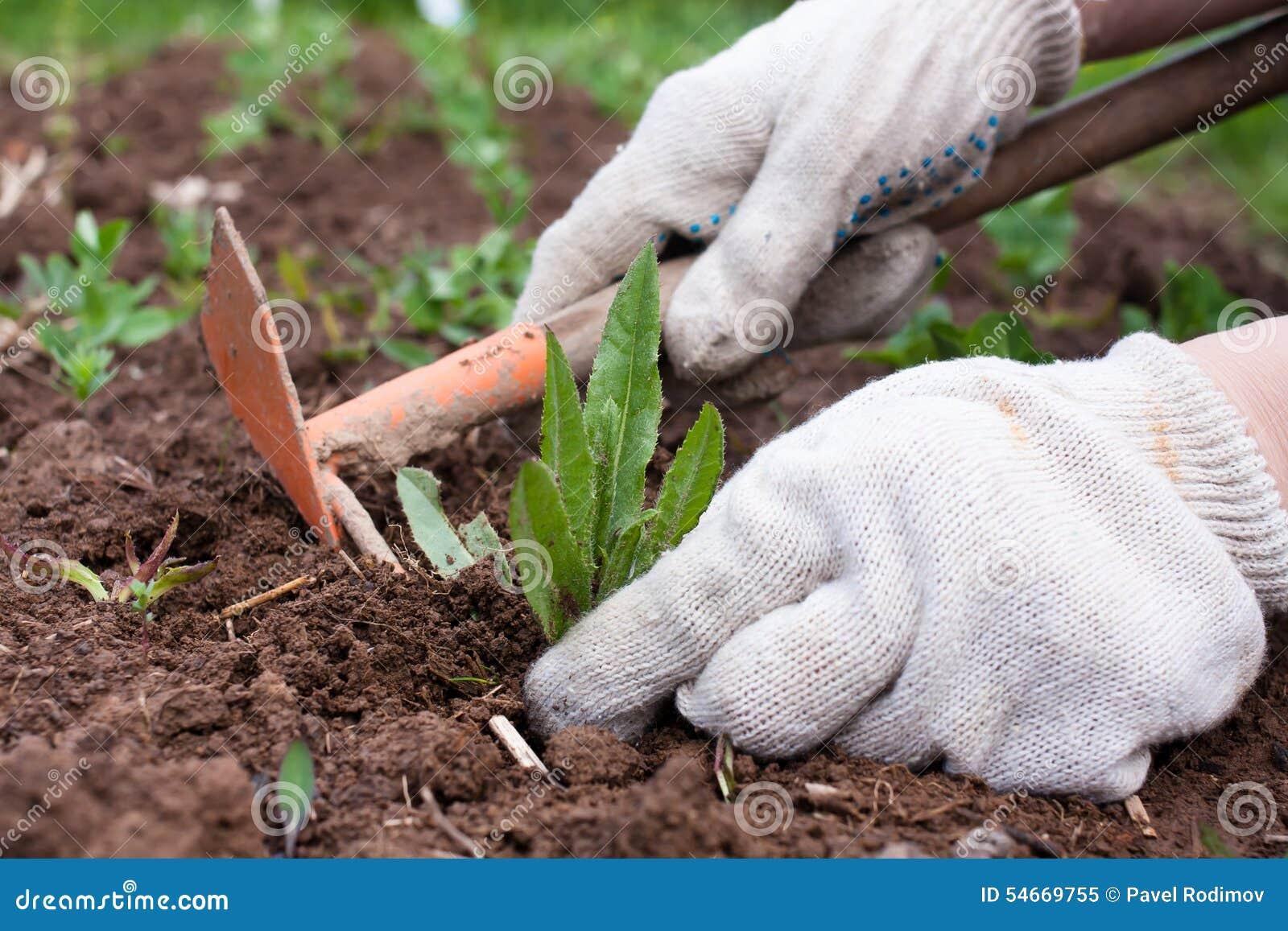 除草在菜园里