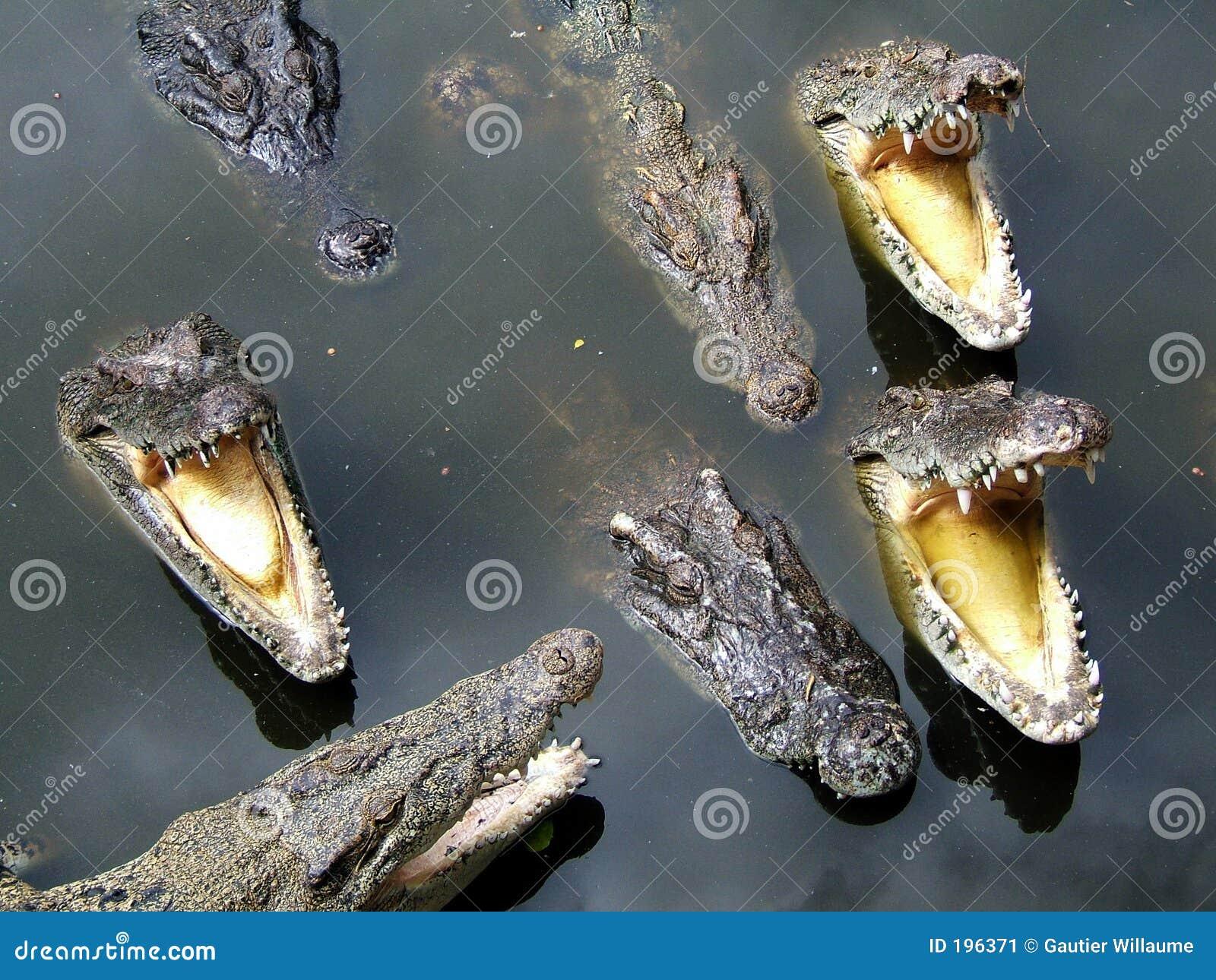 难满足的鳄鱼