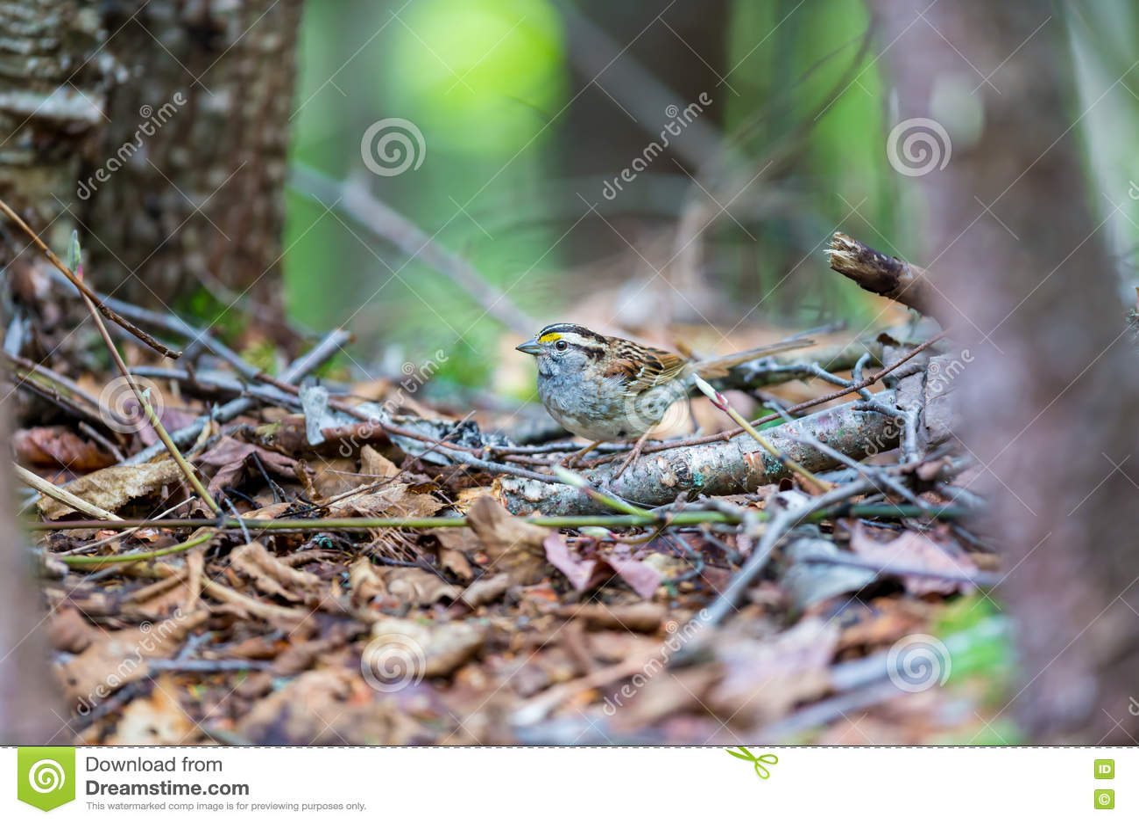 麻雀红喉刺莺的白色