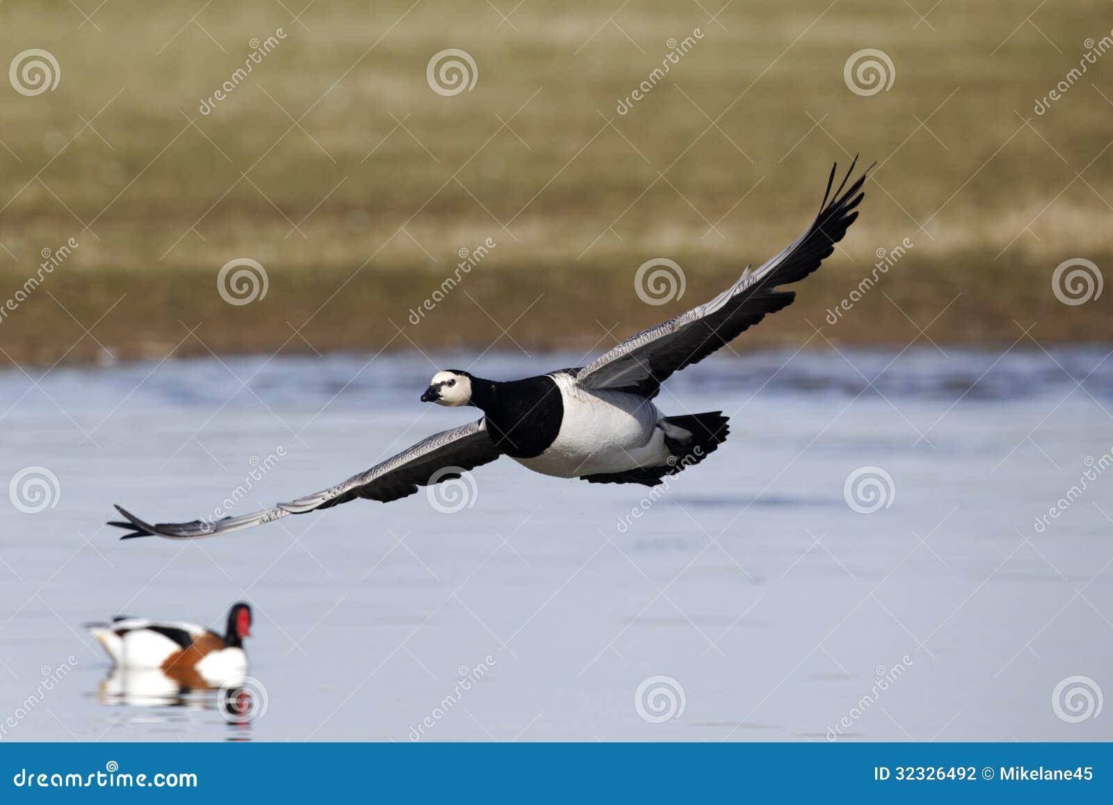 雁の画像 p1_10