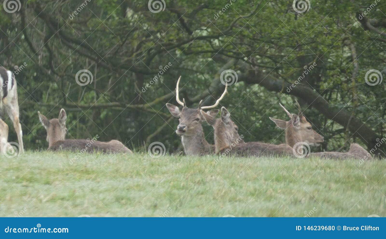 雄鹿母鹿孩子和闺房9