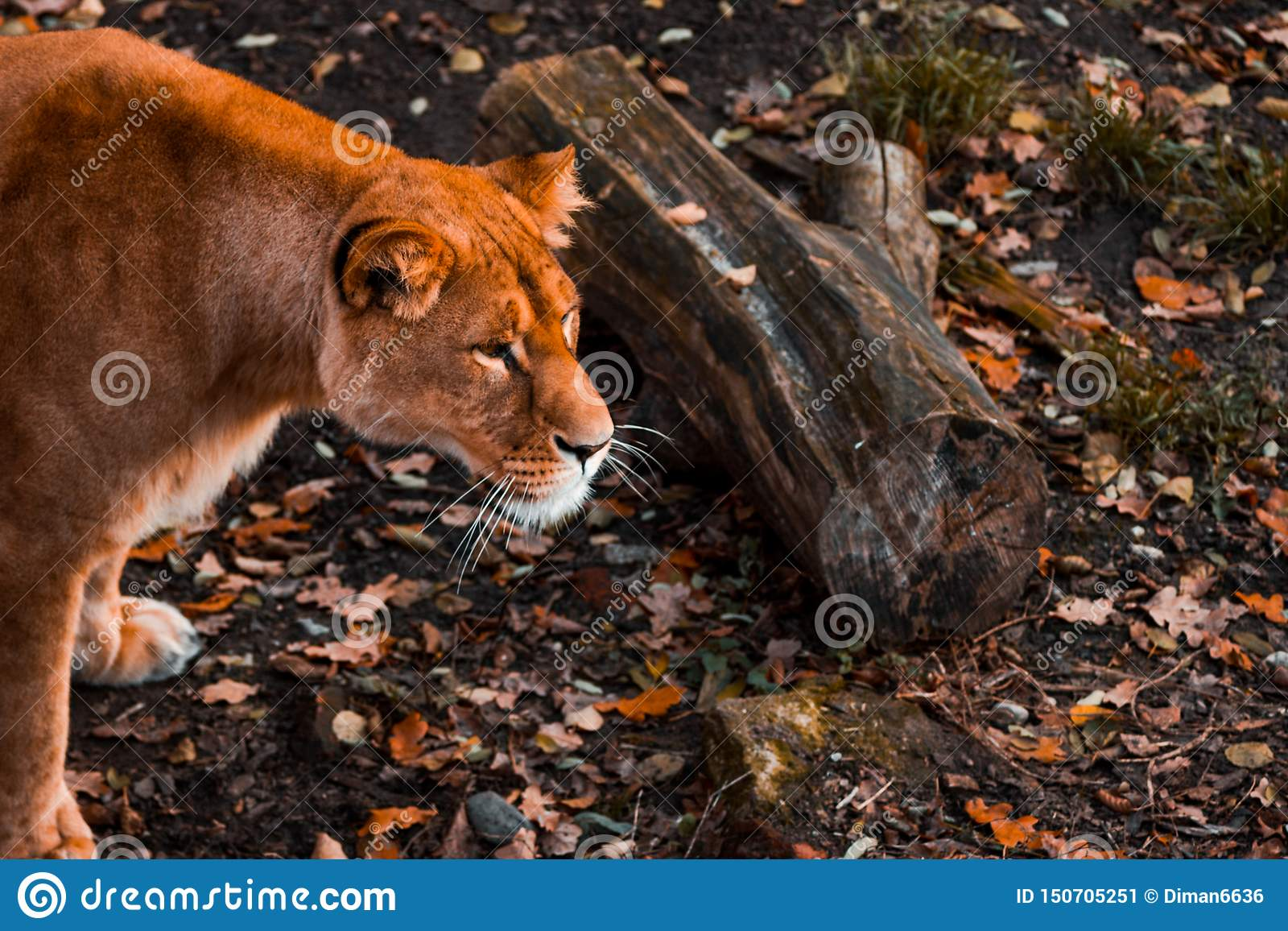 雌狮注意朝前看以秋天叶子为背景在加里宁格勒动物园,软的焦点里