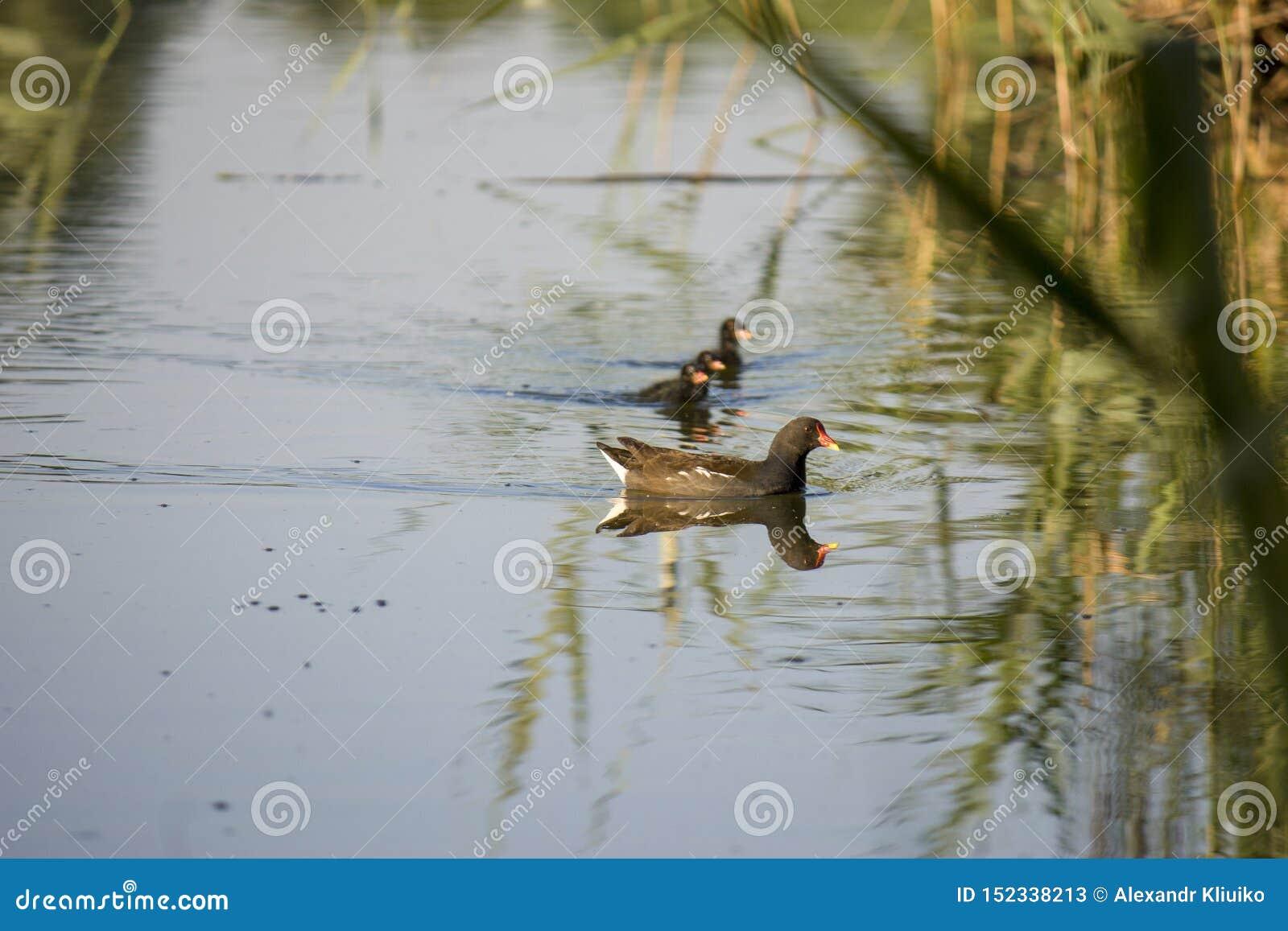 雌红松鸡小鸡,与一红色额嘴Gallinula chloorpus游泳的野鸭在狂放的池塘 r