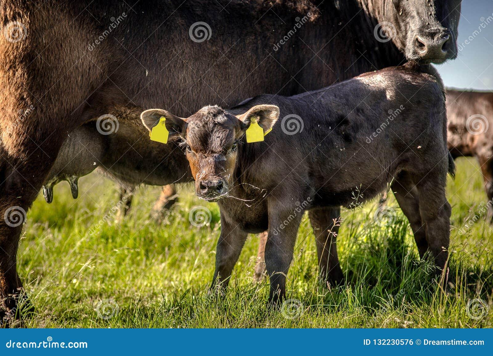 雍黑色吮牛奶和飞溅口水的安格斯小牛在草在好日子