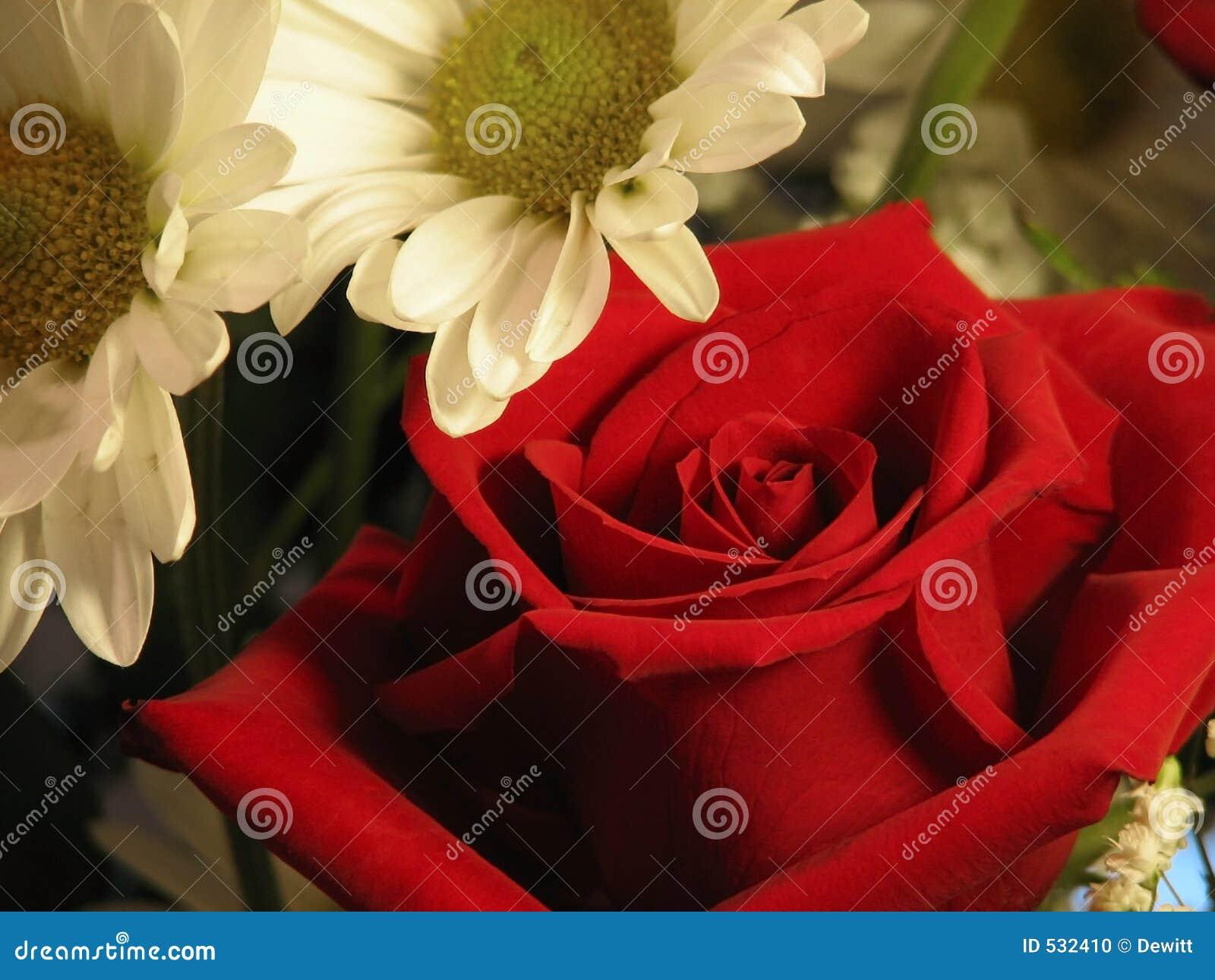Download 雏菊上升了 库存照片. 图片 包括有 雏菊, 文本, beauvoir, 开花, 春天, 浪漫, 植物群, 绽放 - 532410