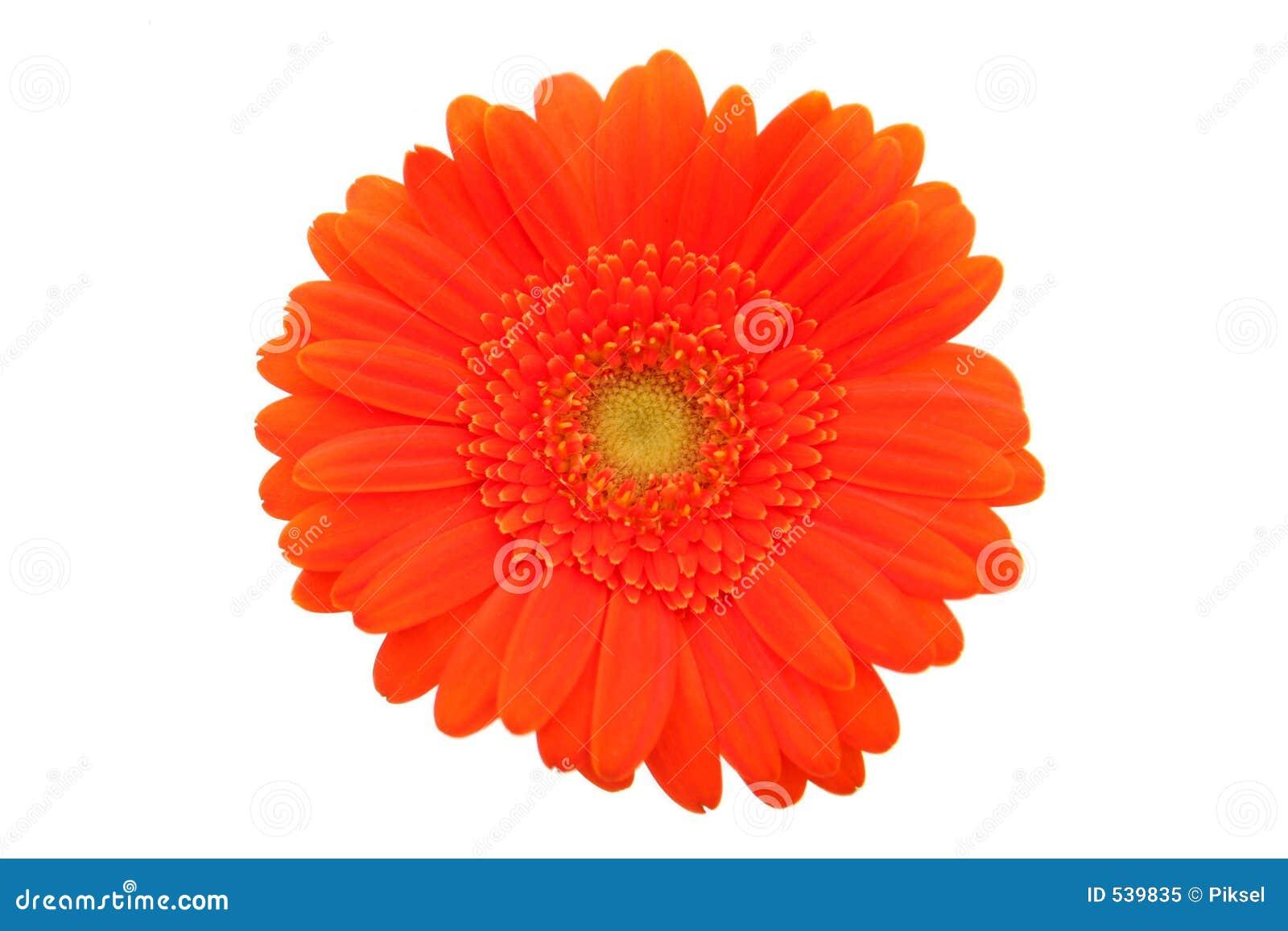 Download 雏菊大丁草 库存图片. 图片 包括有 精美, 自然, 开花的, 庭院, 工厂, gerber, 剪切, 对象 - 539835