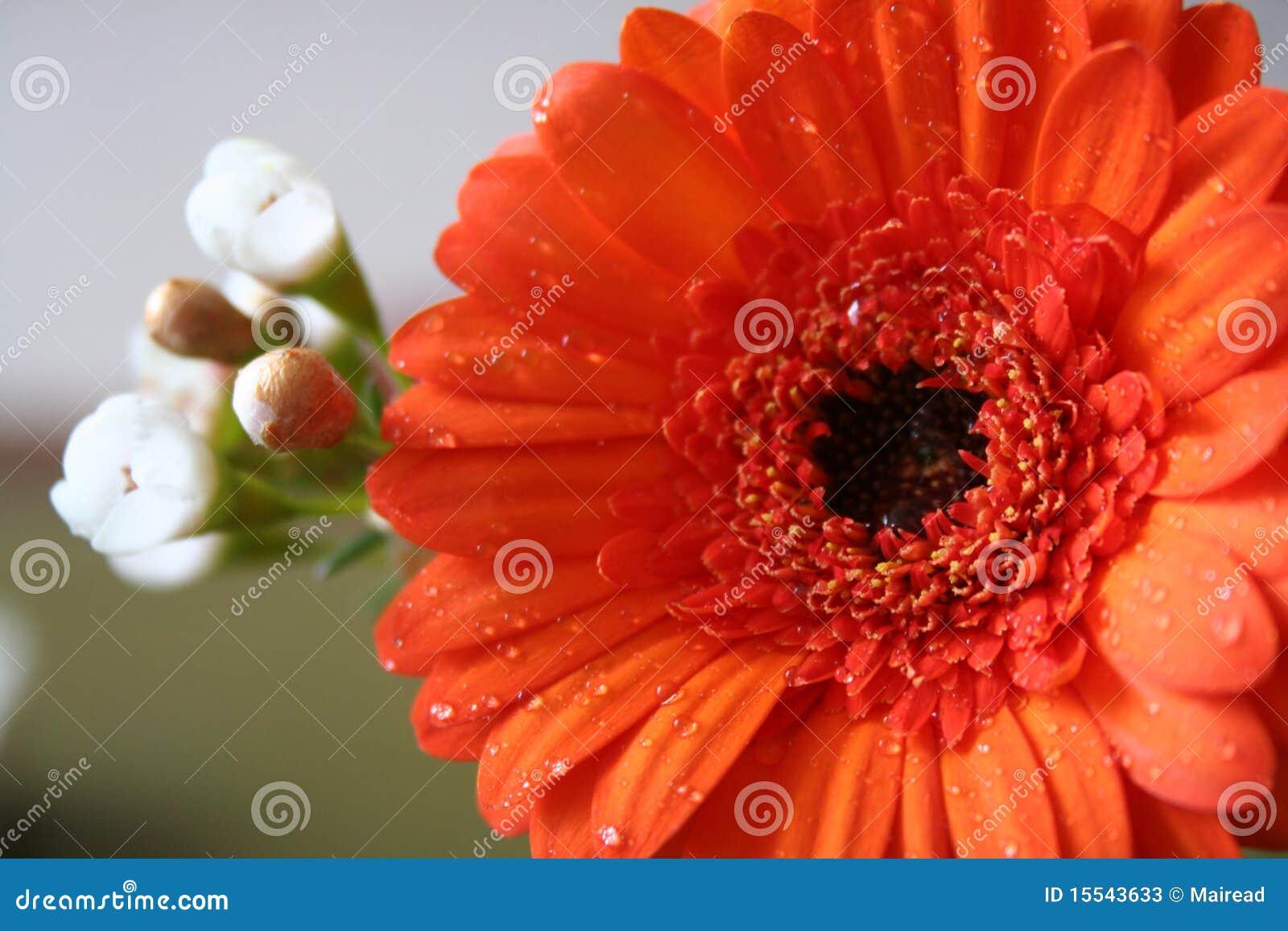 雏菊gerber桔子
