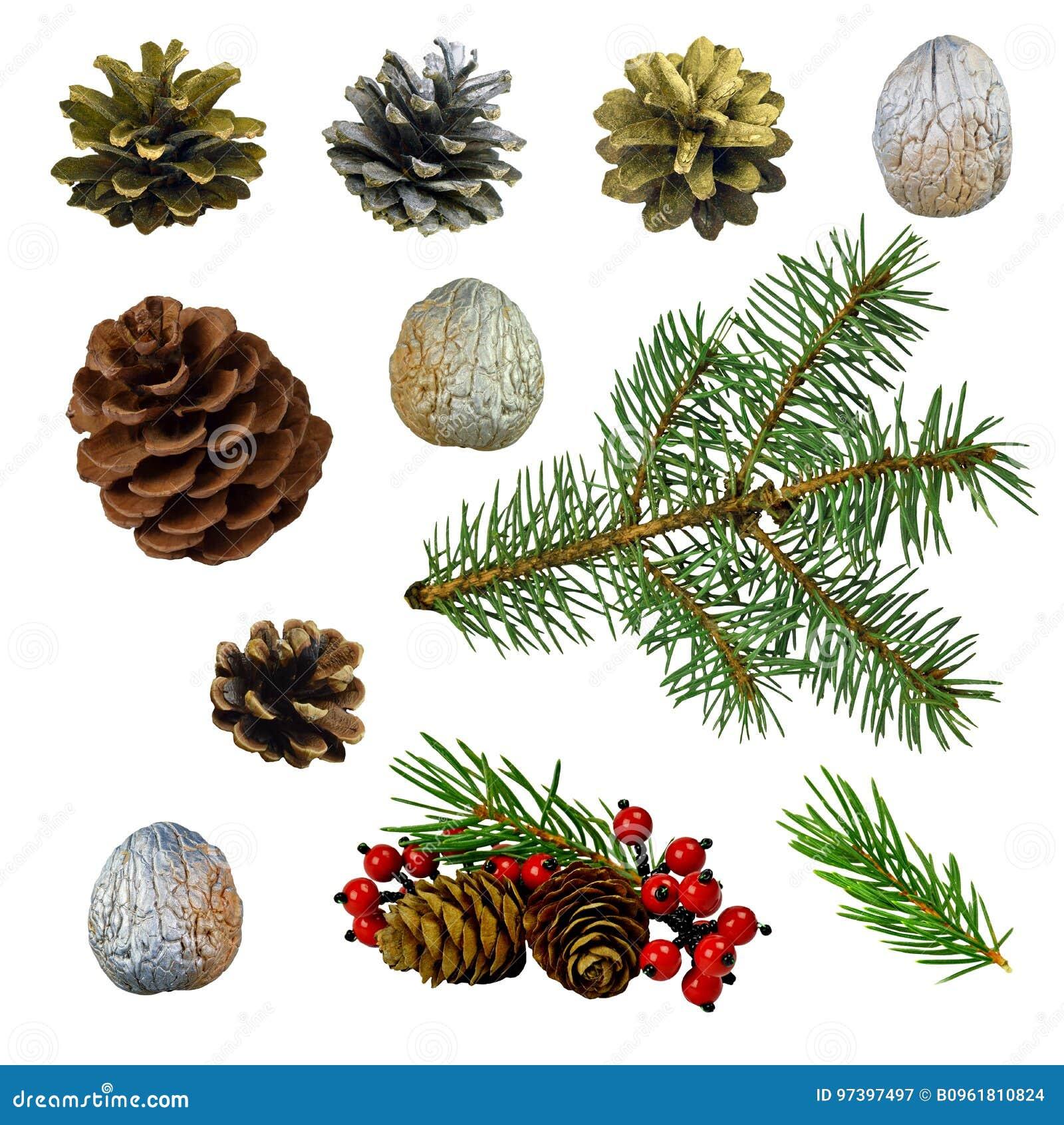 雪松和杉木锥体,莓果,云杉的分支,坚果 被隔绝的w