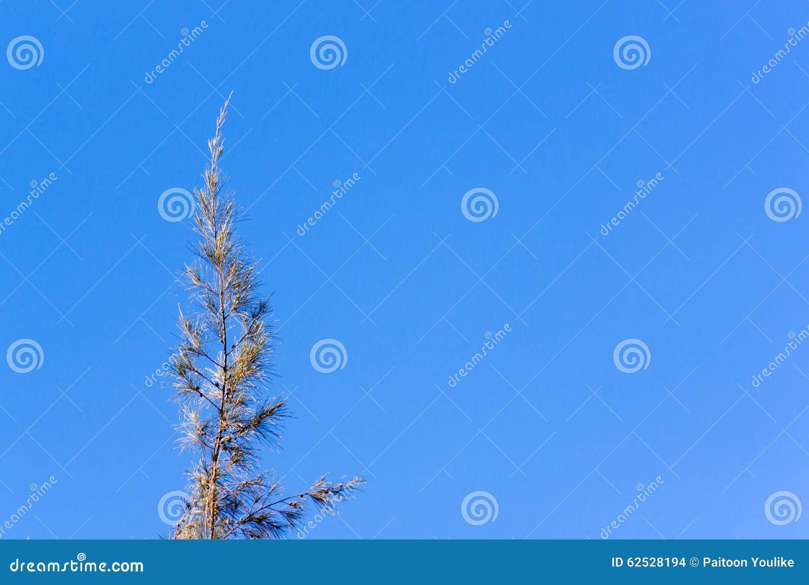 雪松杉树冠