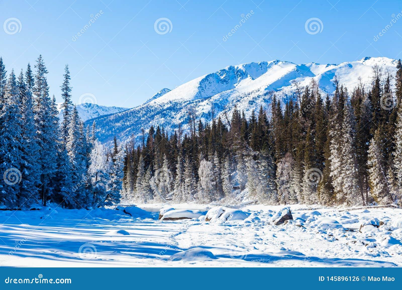 雪森林在冬天 积雪的Gongnaisi森林在冬天