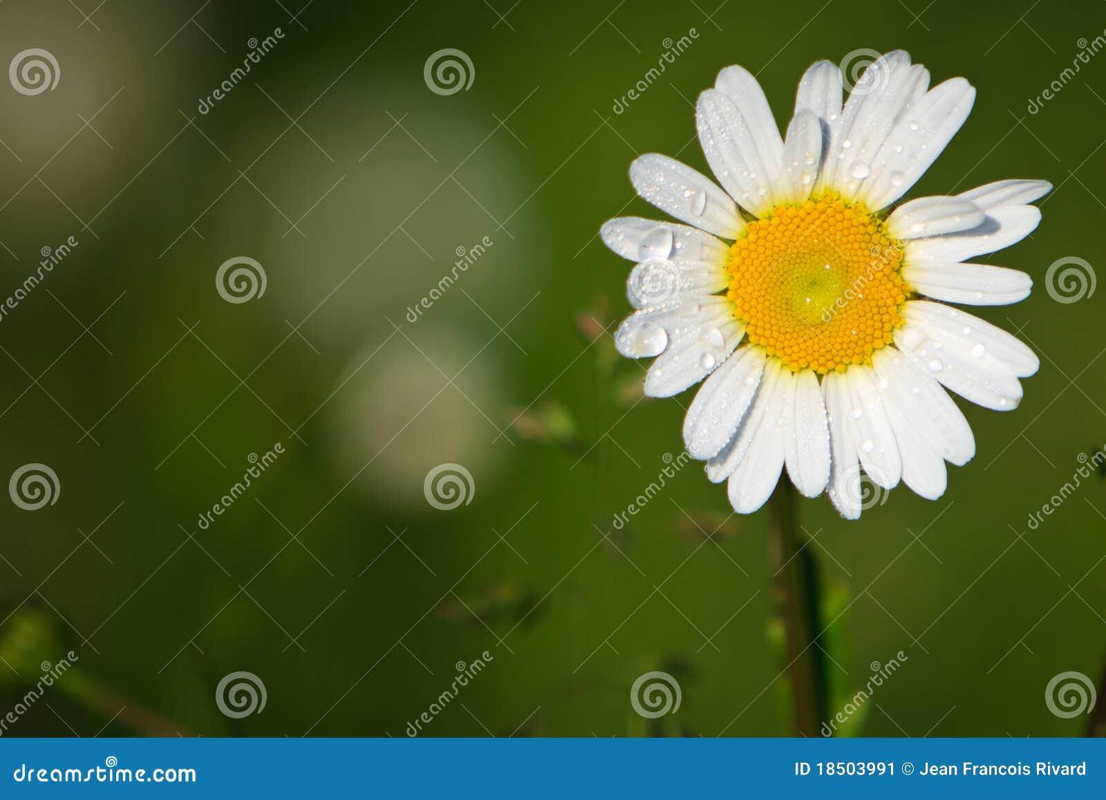 露水延命菊