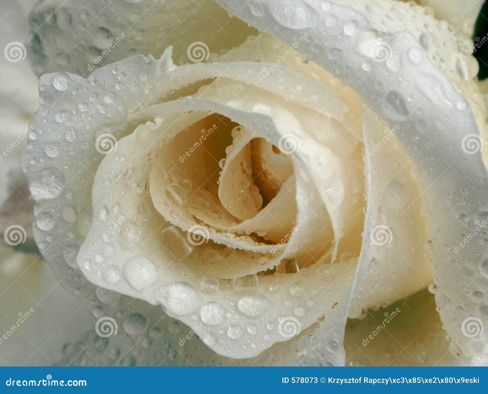 露水玫瑰白色