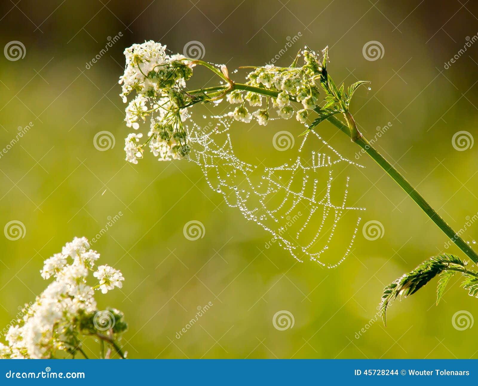 露水下落在蜘蛛网的在清早
