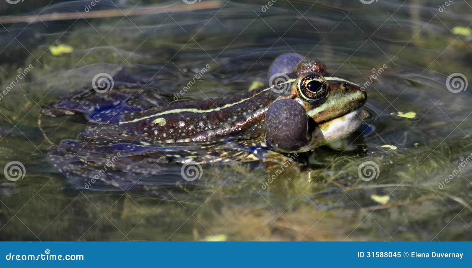 青蛙游泳在池塘和呱呱地叫以便在它的头附近有两泡影.图片