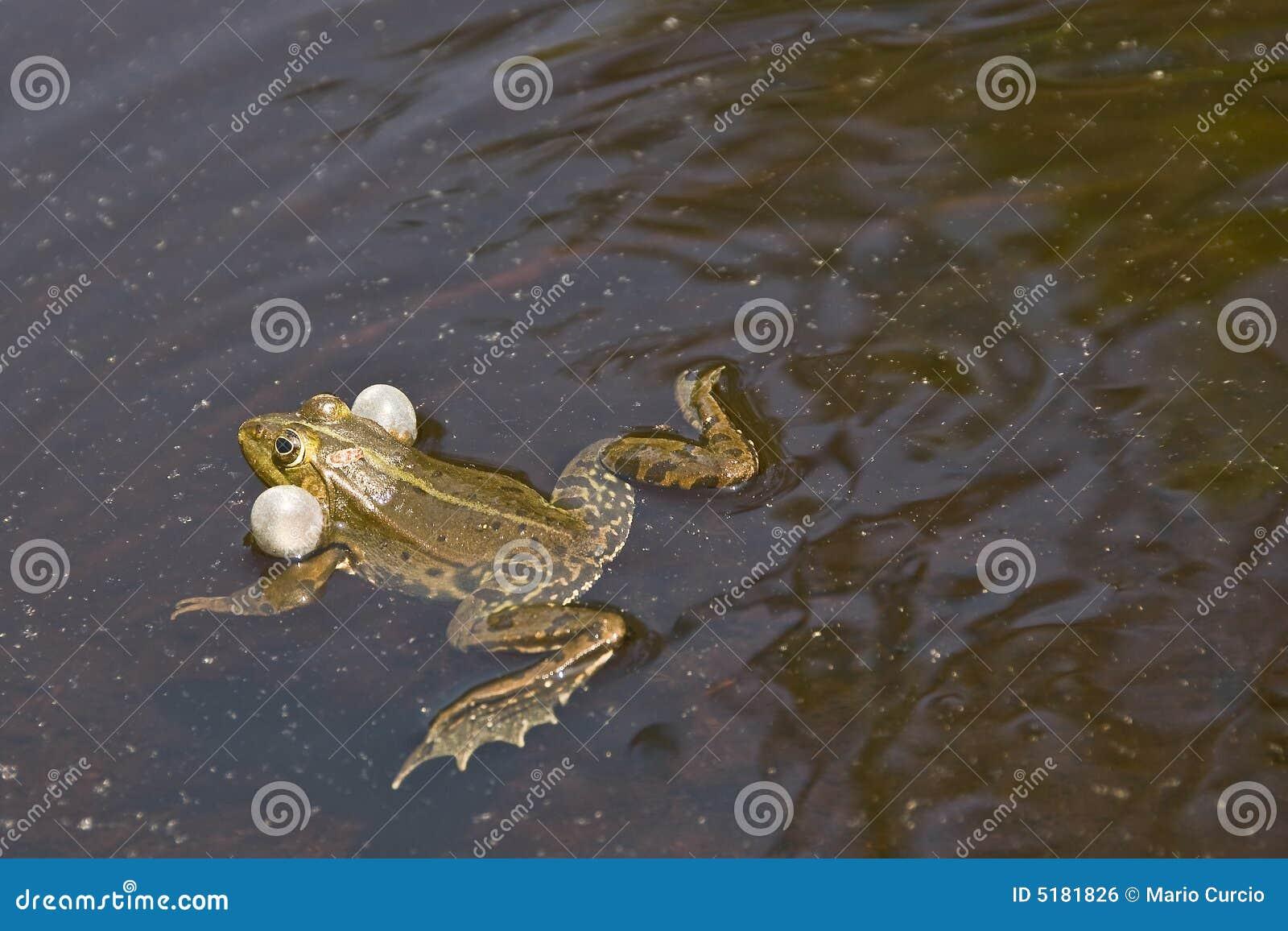 青蛙游泳图片