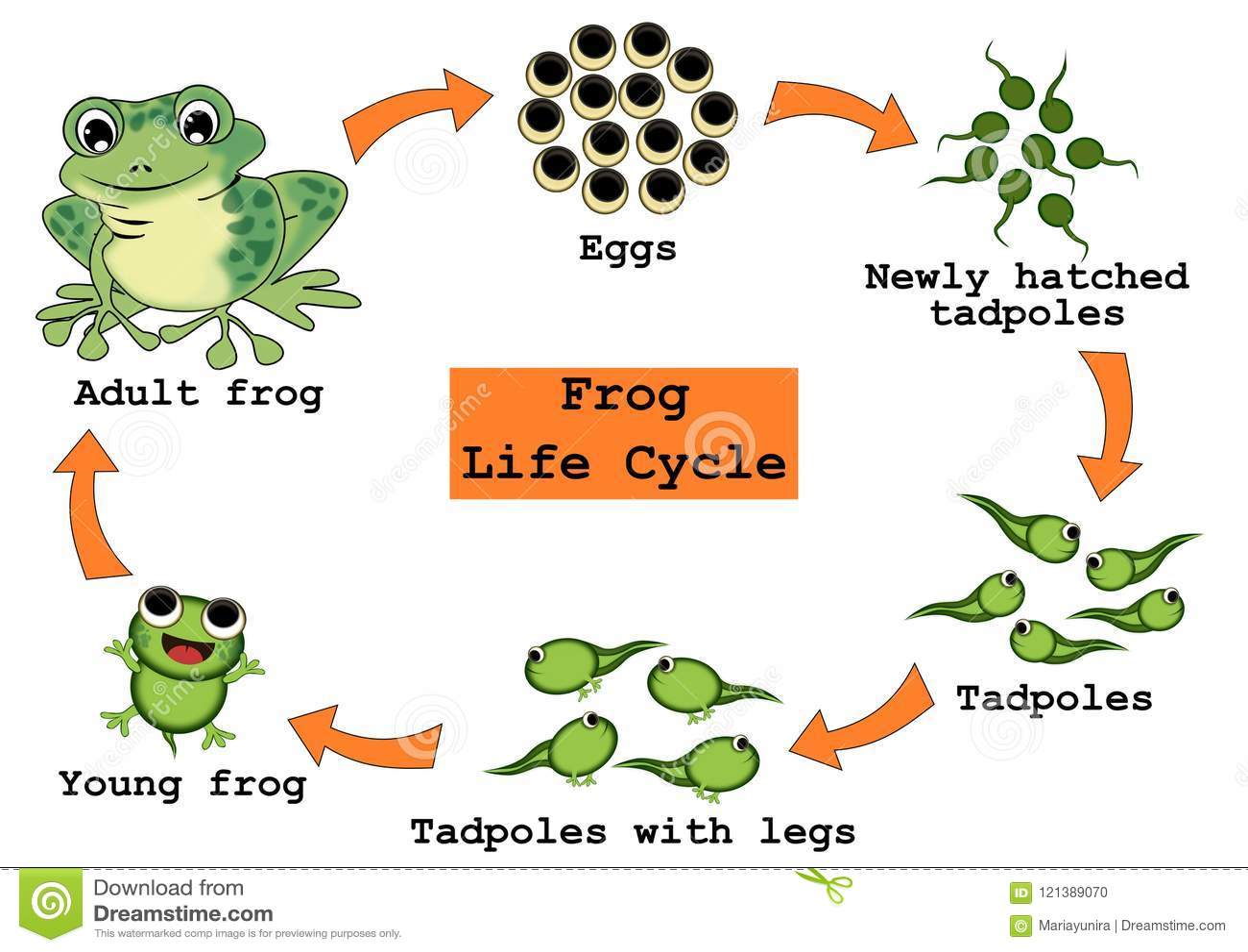 青蛙生命周期概念